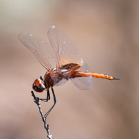 Dragonflies from South Africa