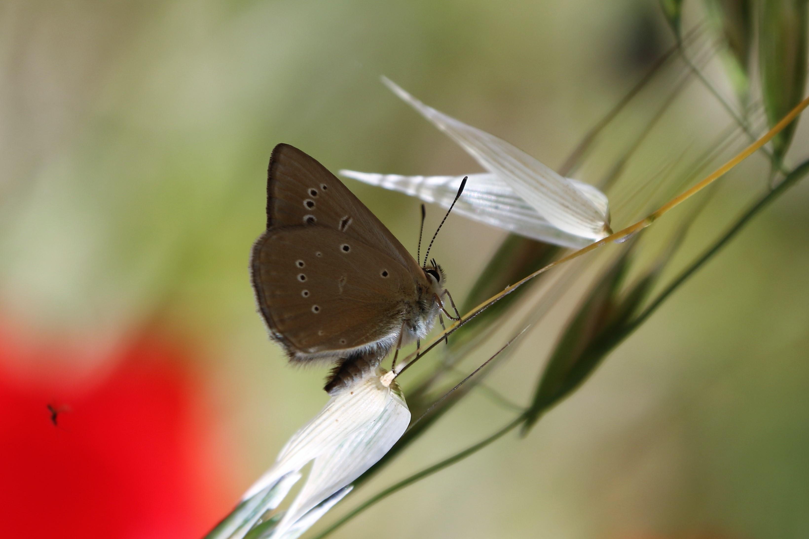 Agrodiaetus aroaniensis. Grecian Anomalous Blue.