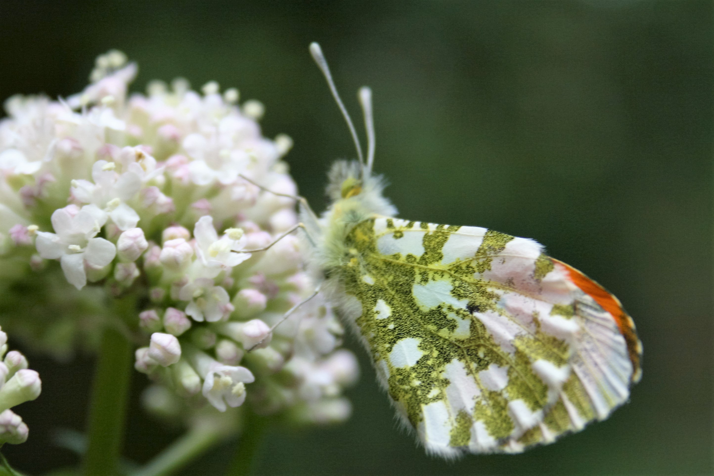 Anthocharis cardamines. Orange Tip.