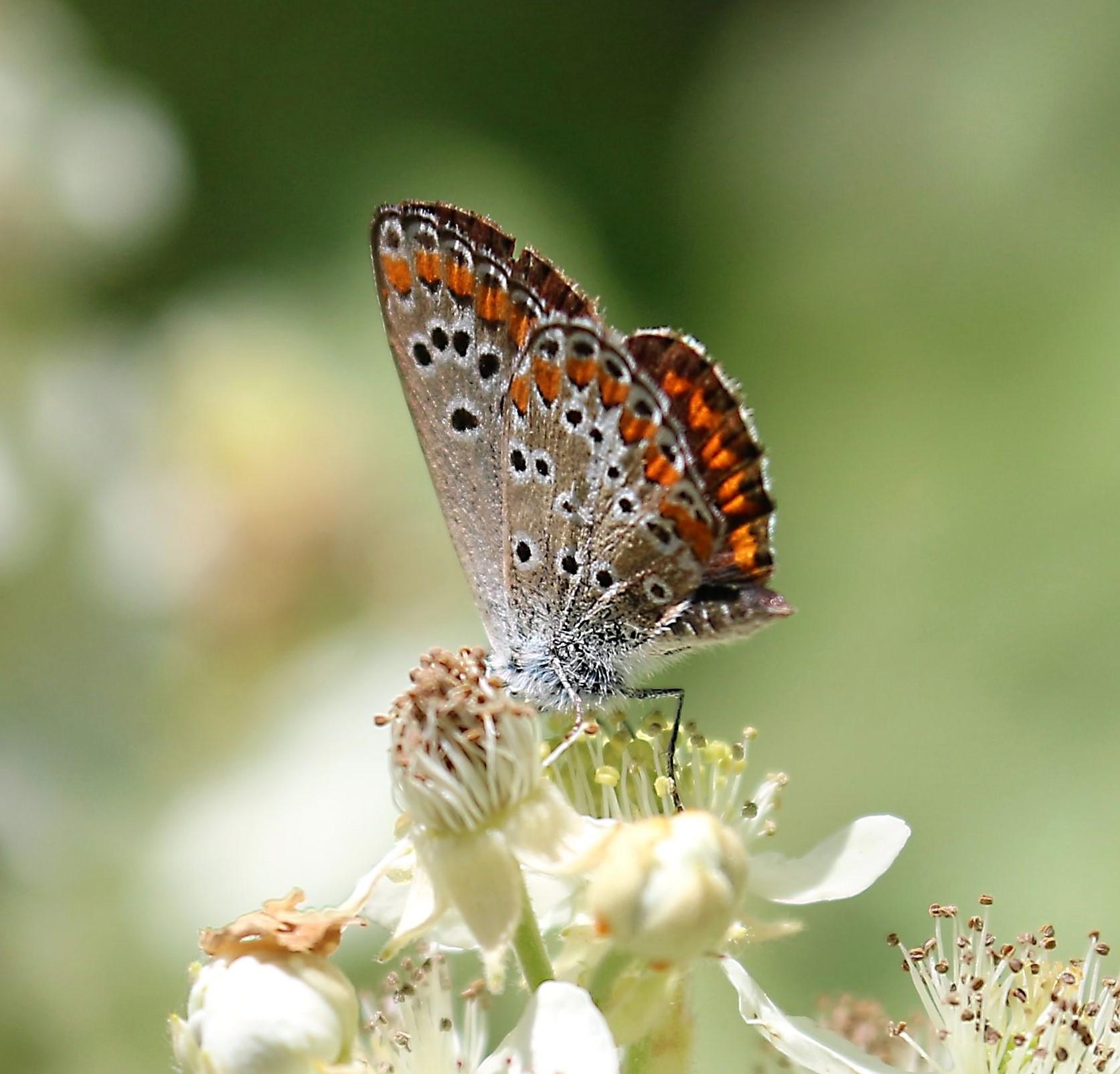 Polyommatus thersites. Chapman's Blue.