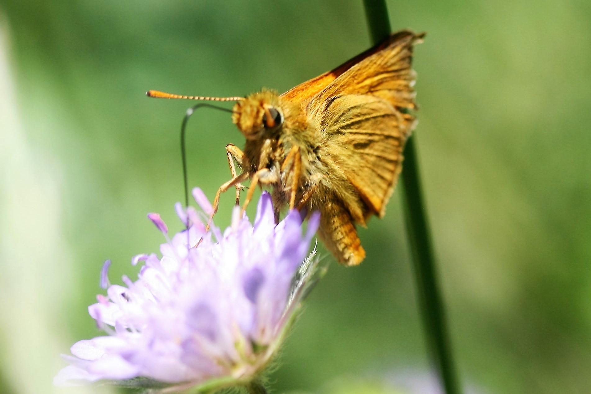 Thymelicus lineolus. Essex Skipper.