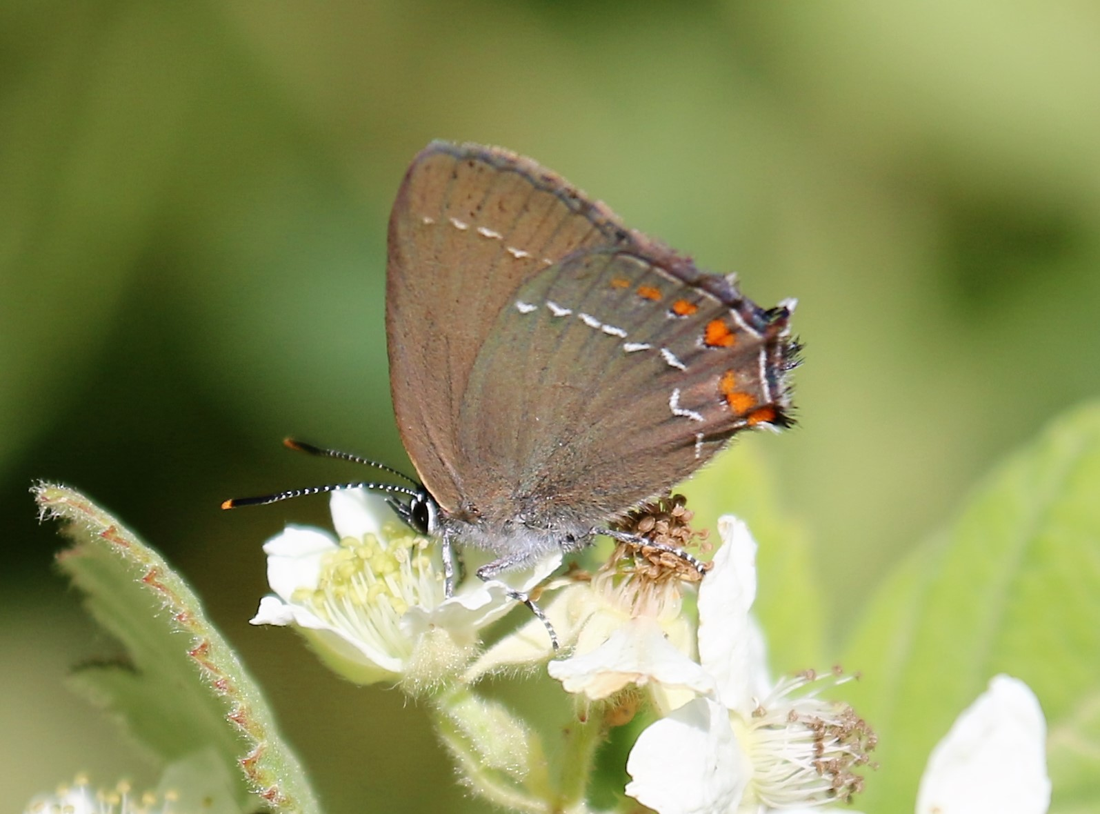 Satyrium acaciae. Sloe Hairstreak.