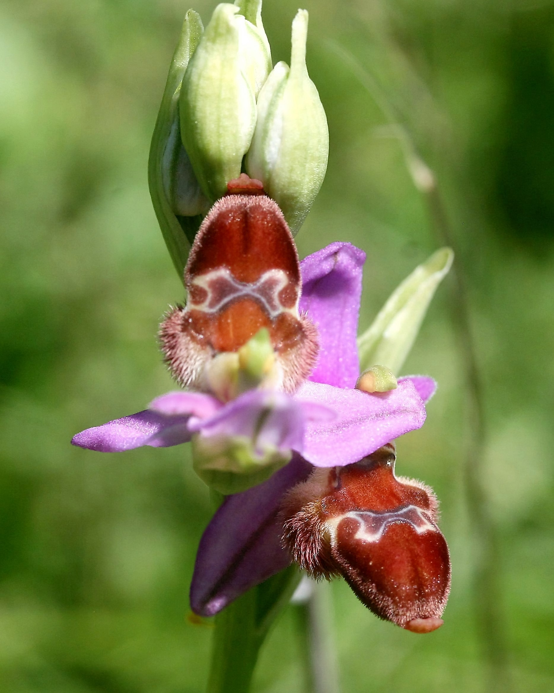 Ophrys delphinensis
