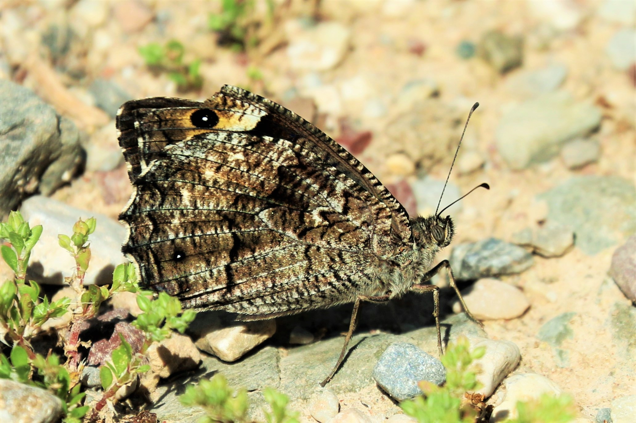 Hipparchia fagi. Woodland Grayling.