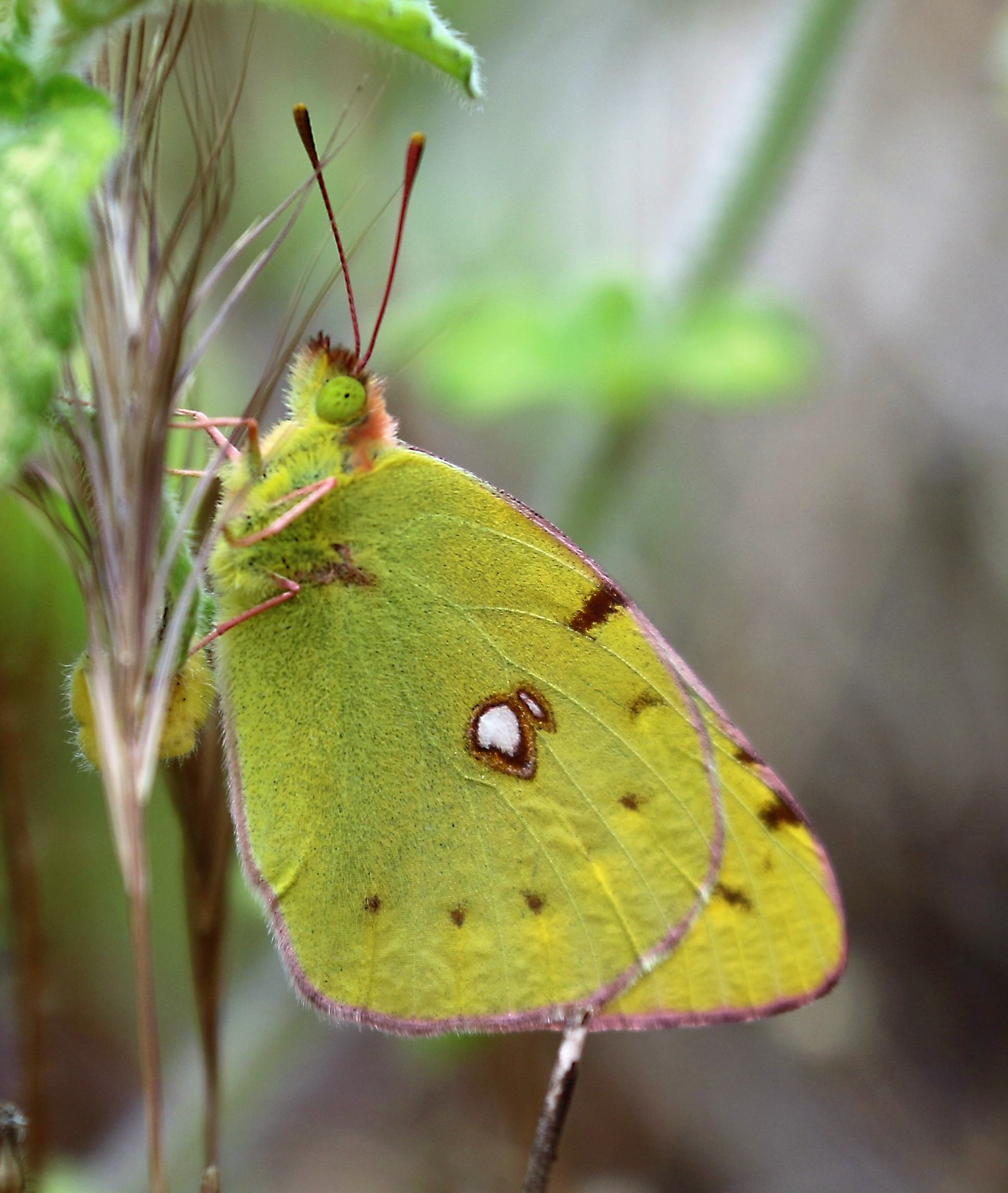 Colias crocea. Clouded Yellow.