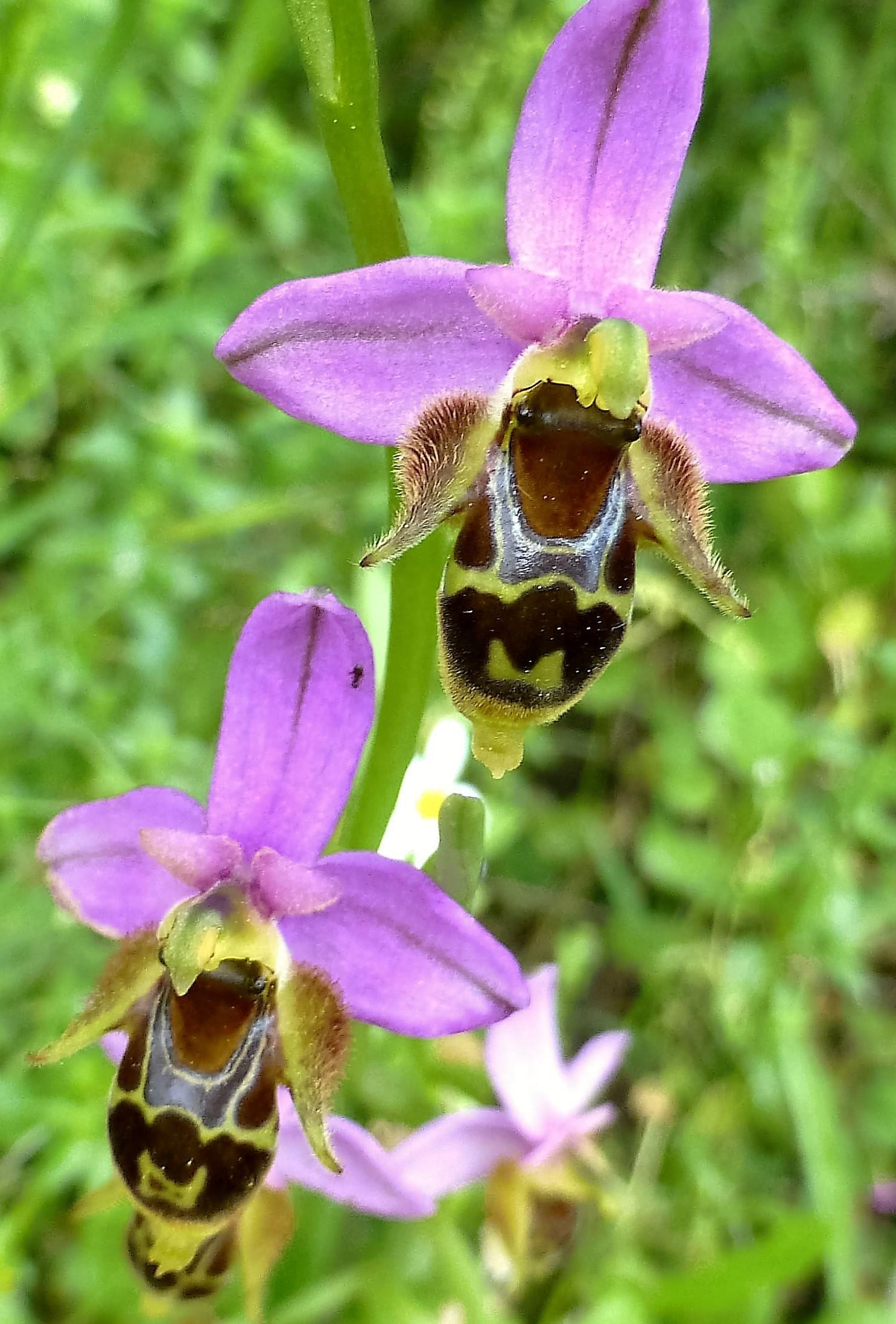 Ophrys schlecteriana