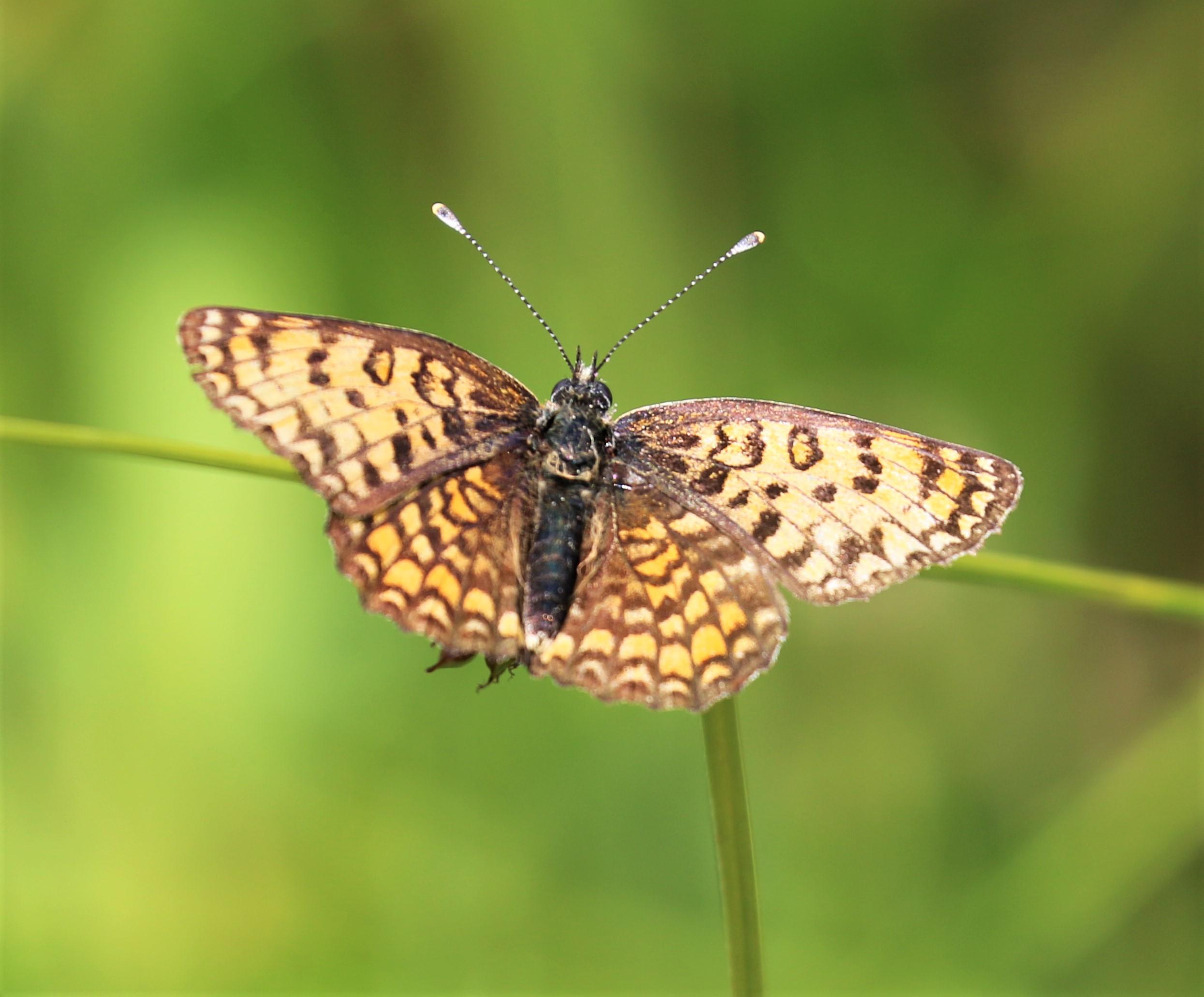 Melitaea didyma. Spotted Fritillary.