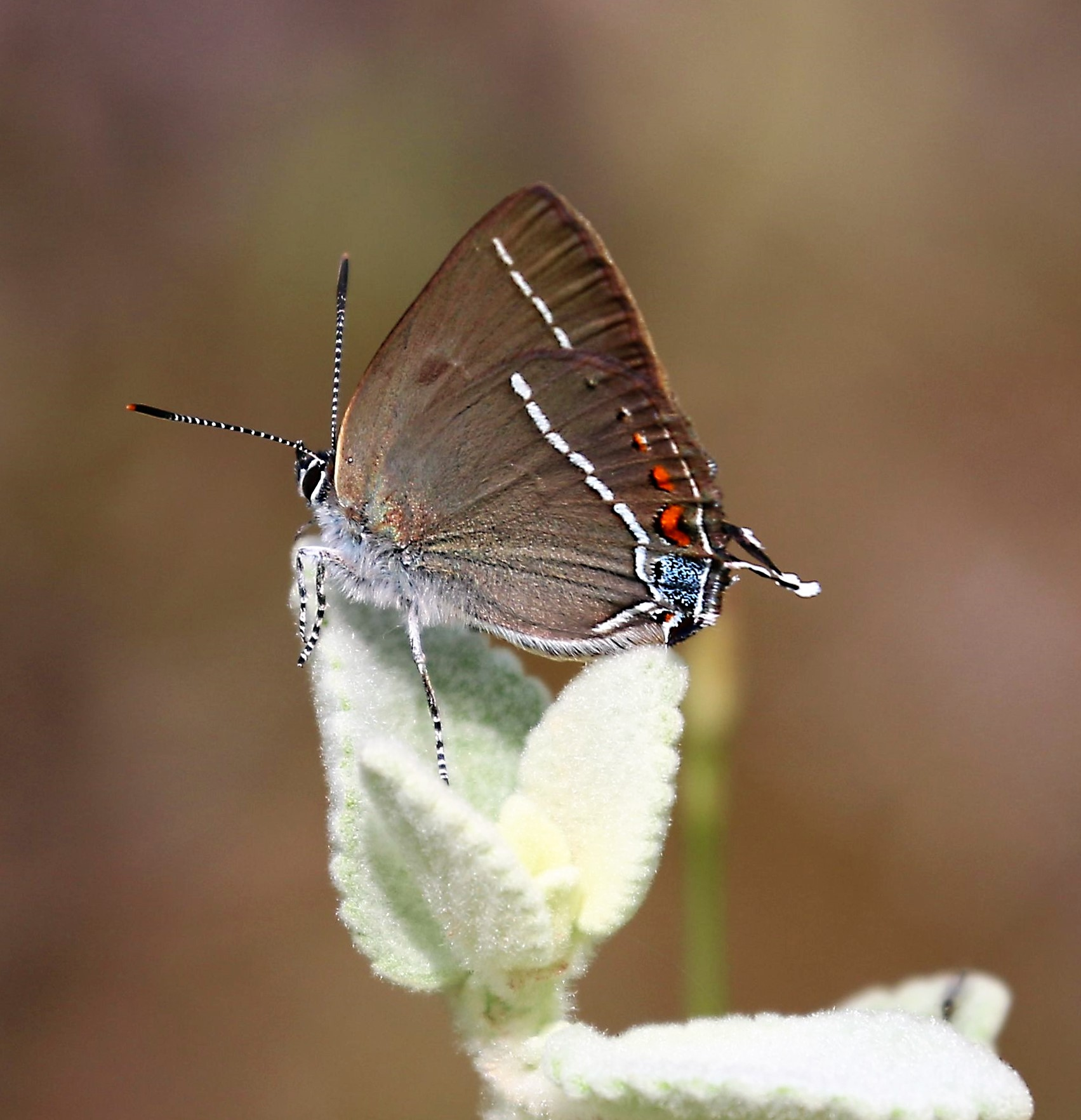 Satyriun apini. Blue-spot Hairstreak.