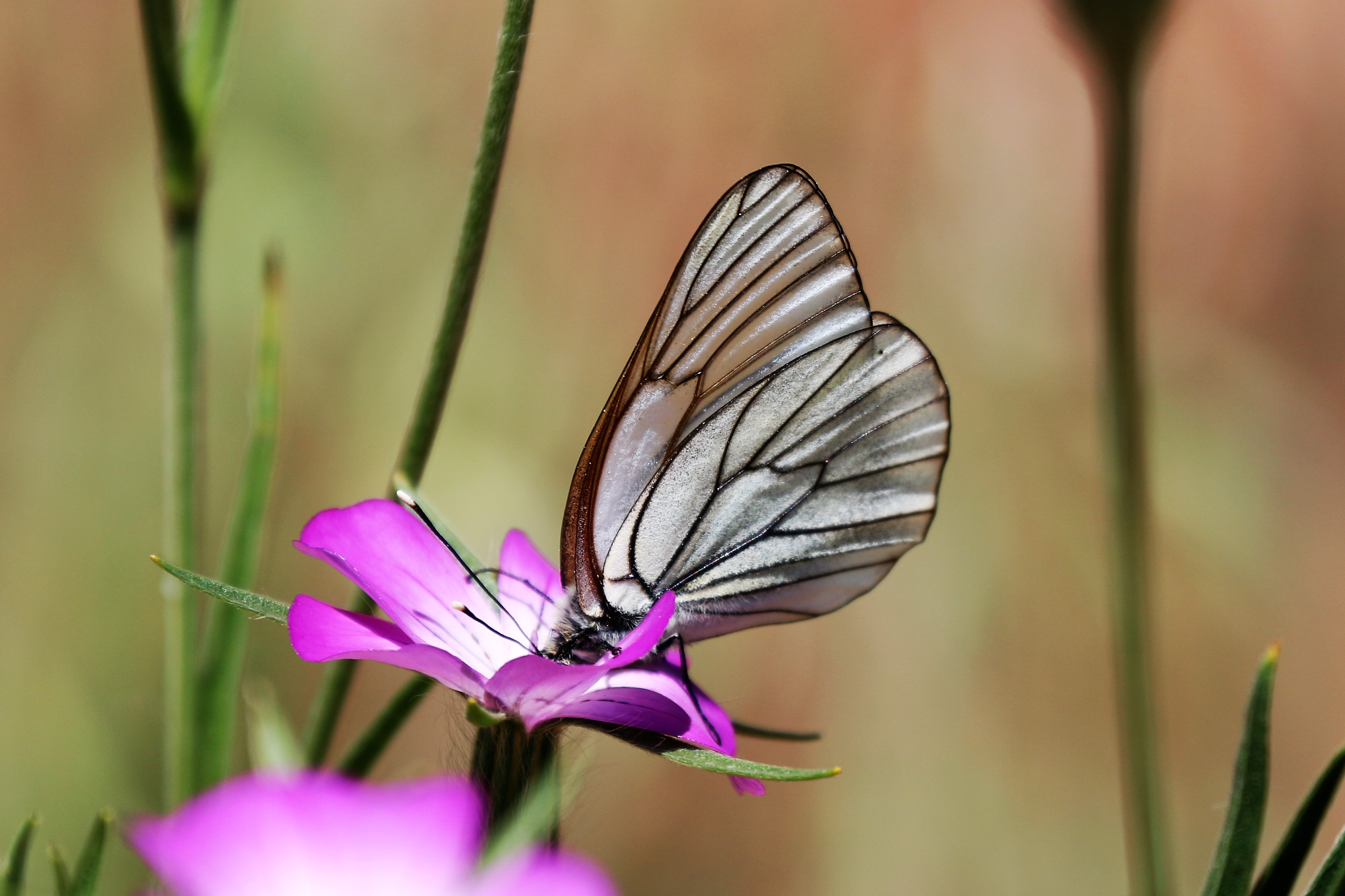 Aporia crataegi. Black-veined White.