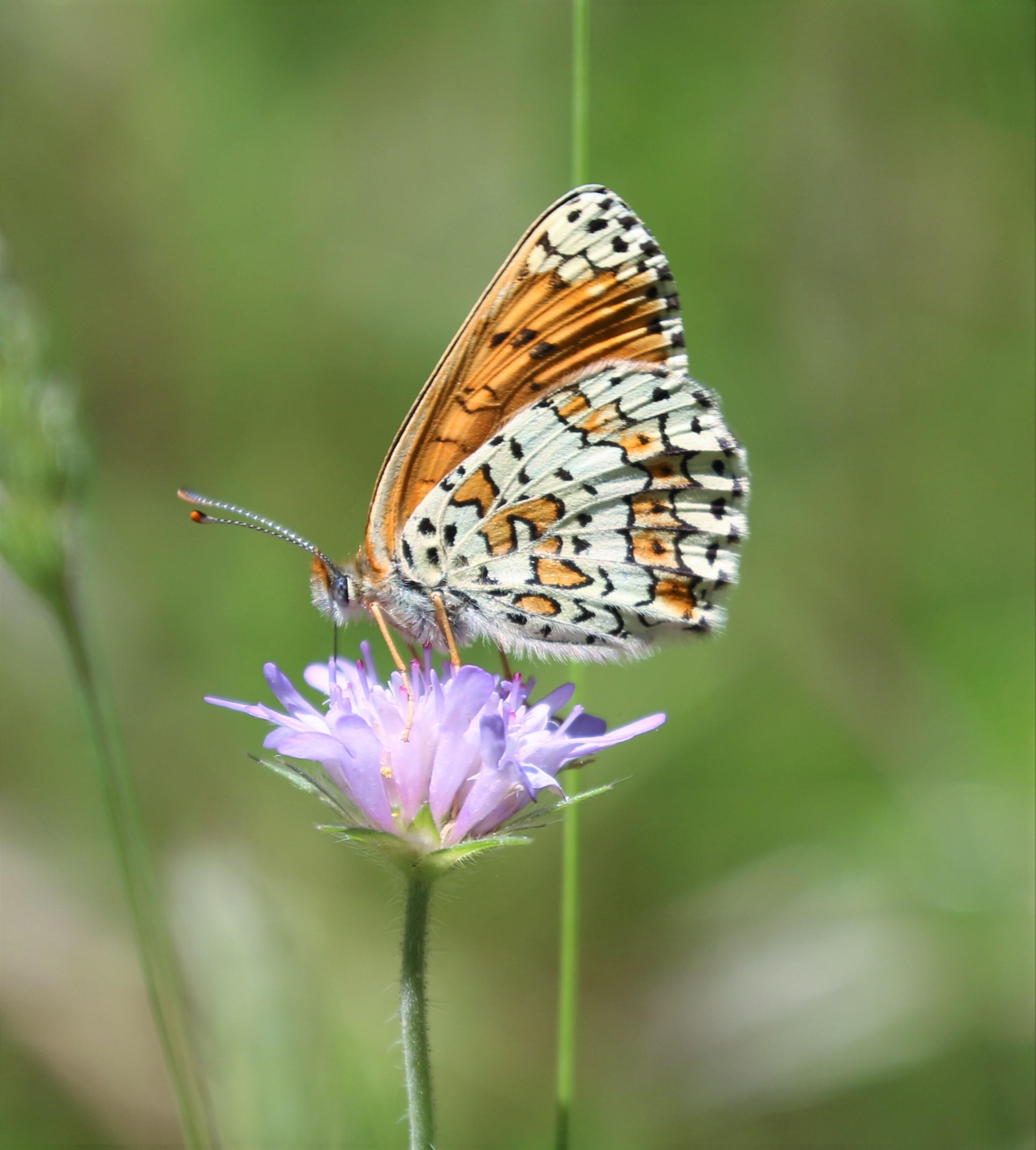 Melitaea cinxia. Glanville Fritillary.