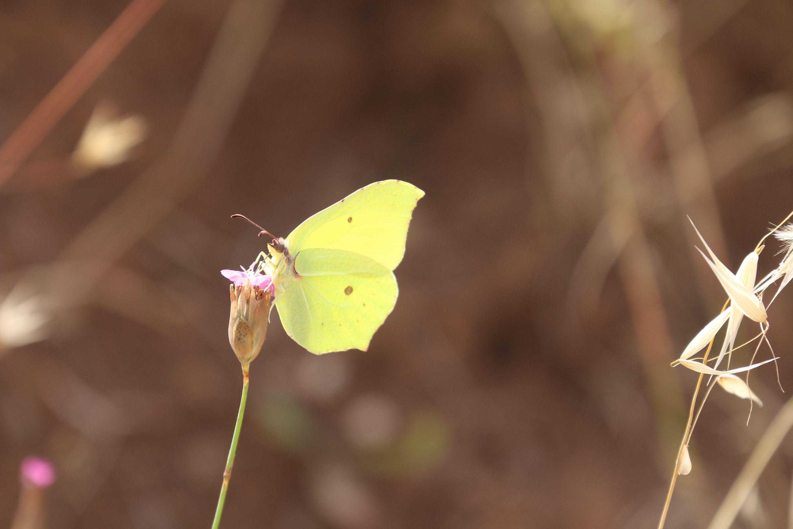 Gonepteryx rhamni. Brimstone.