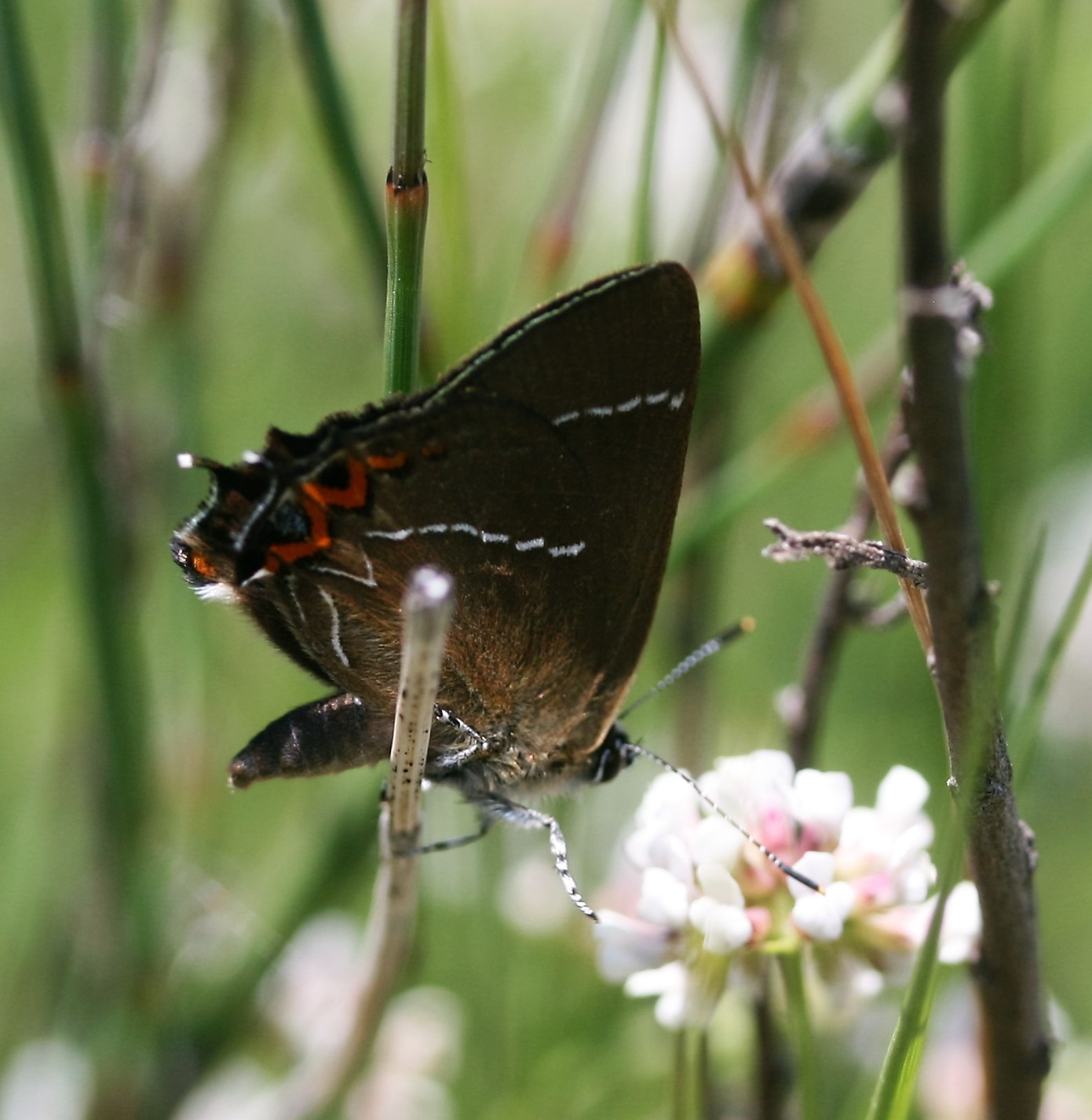 Satyrium w-album. White-letter Hairstreak.