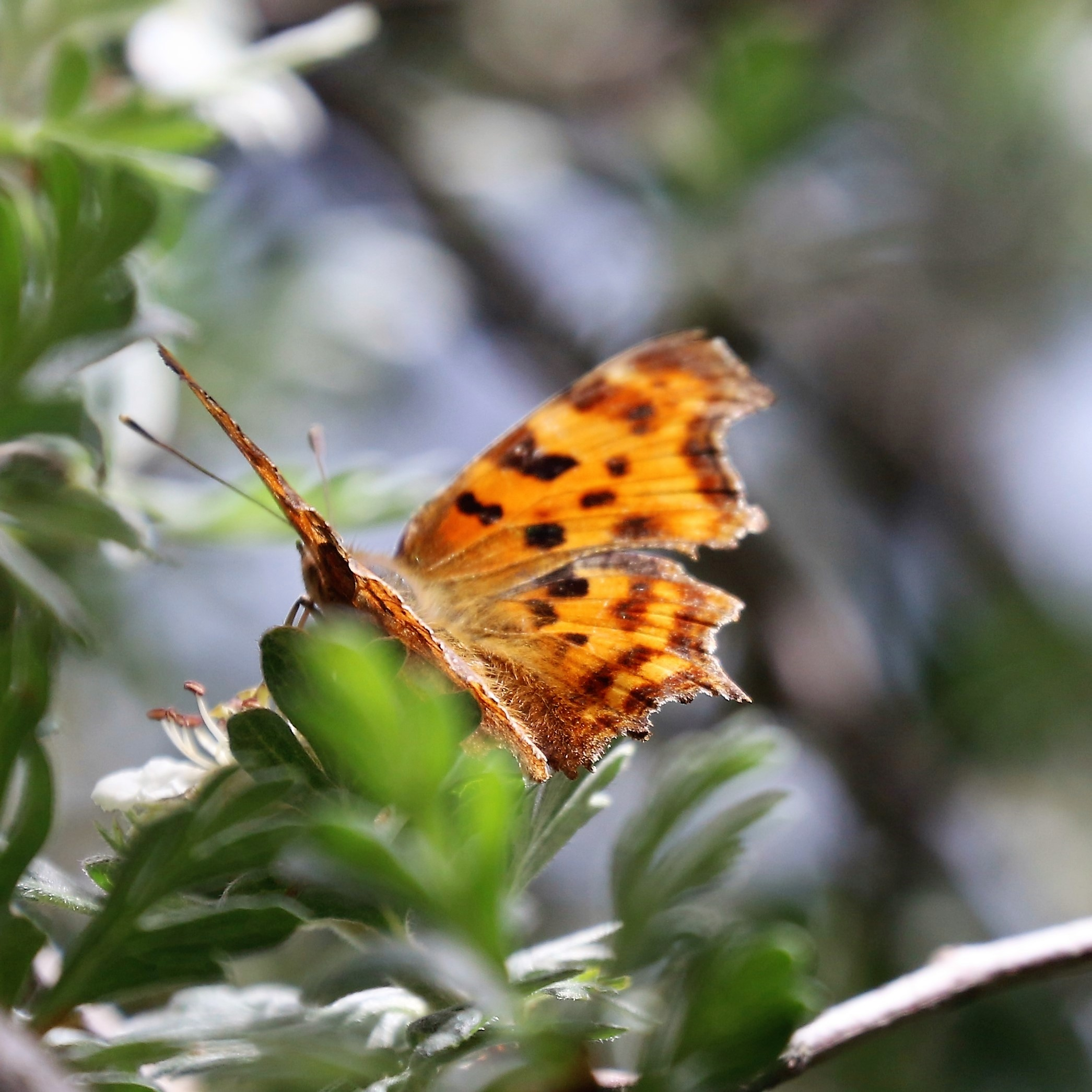 Polygonia c-album. Comma Butterfly.