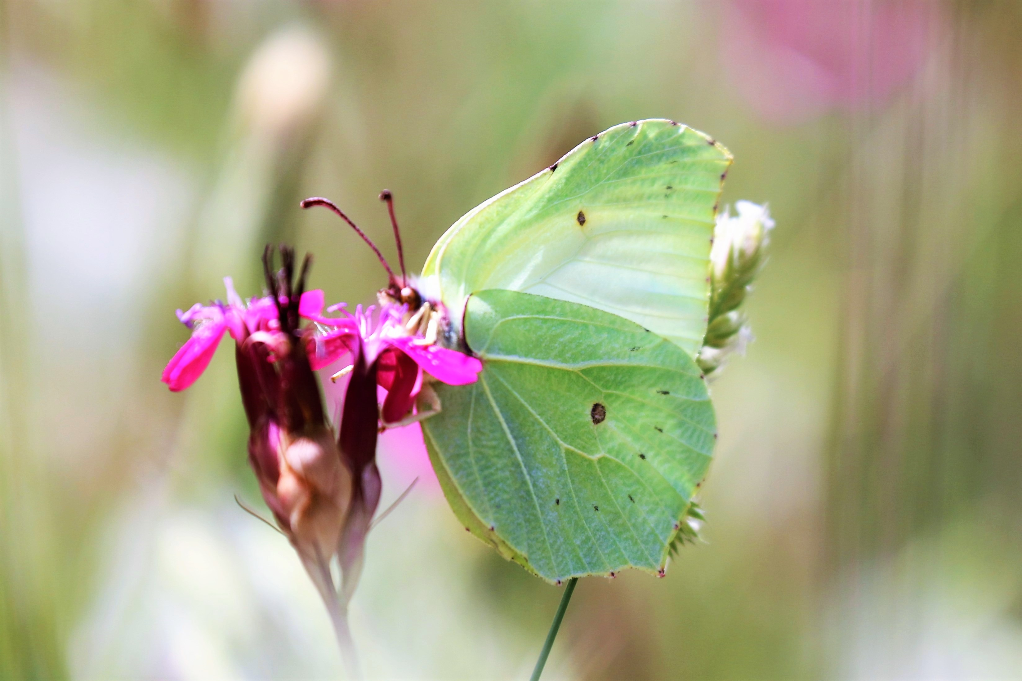 Gonepteryx farinosa. Powdered Brimstone.