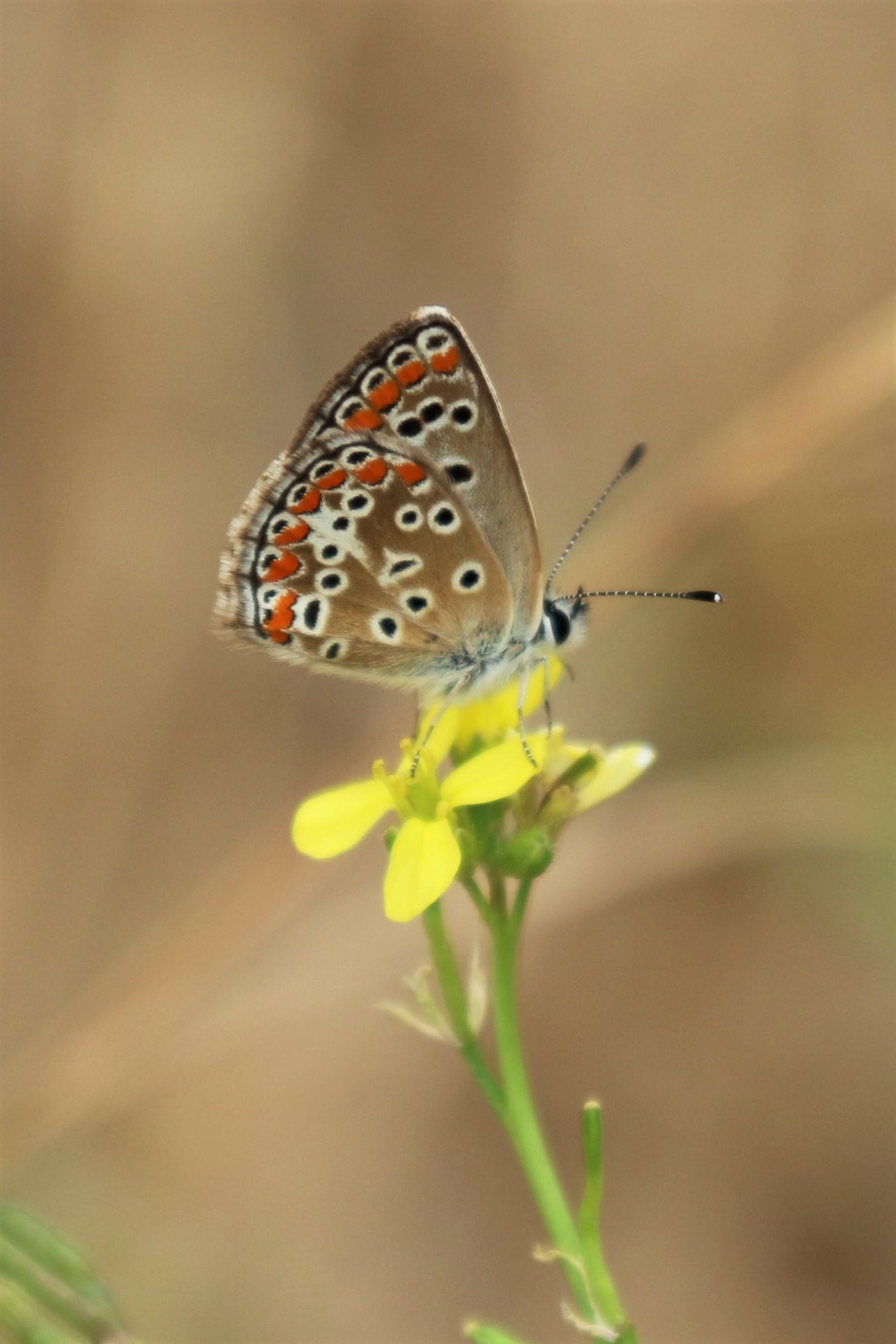 Aricia agestis. Brown Argus.