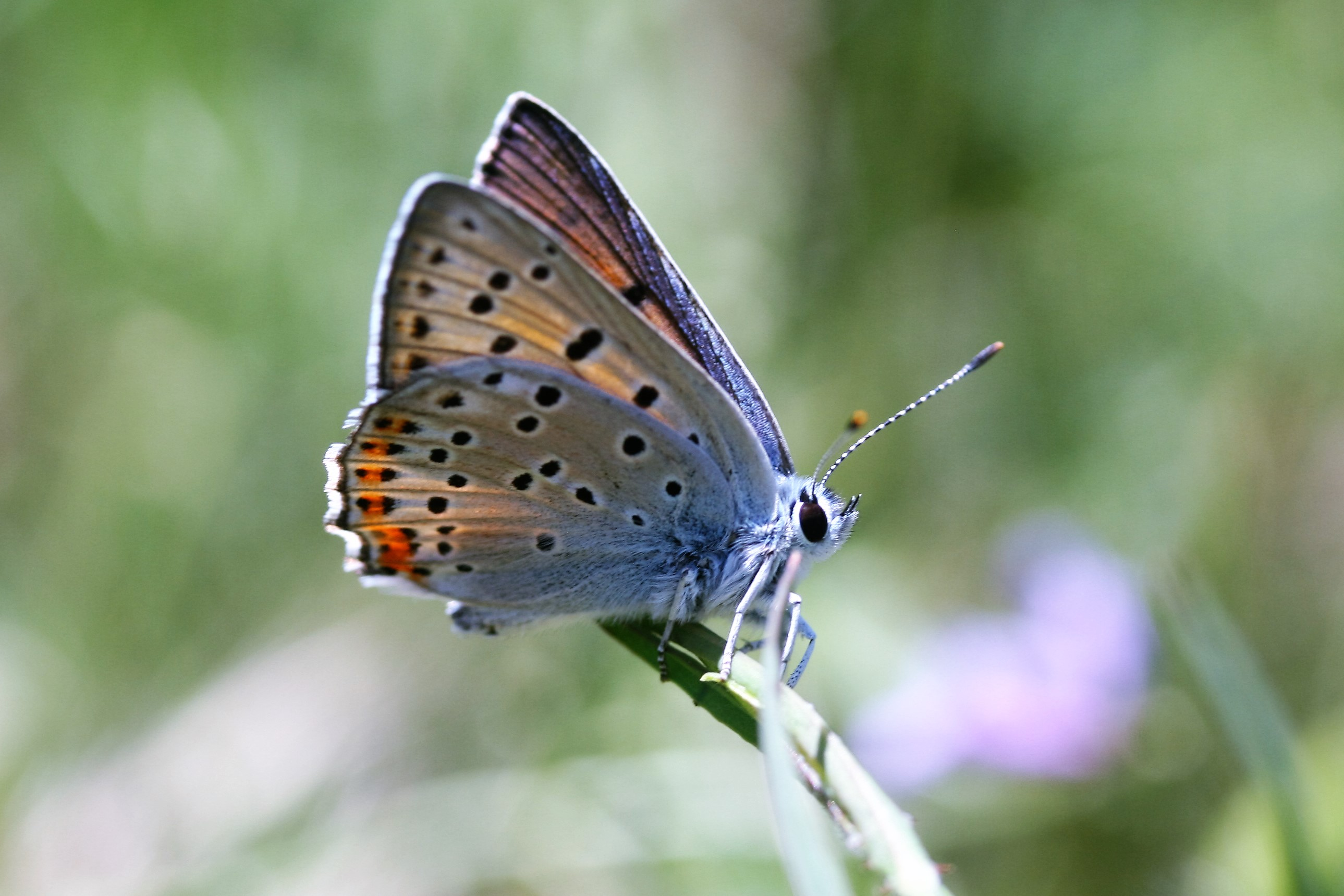 Lycaena apciphron. Purple-shot Copper.