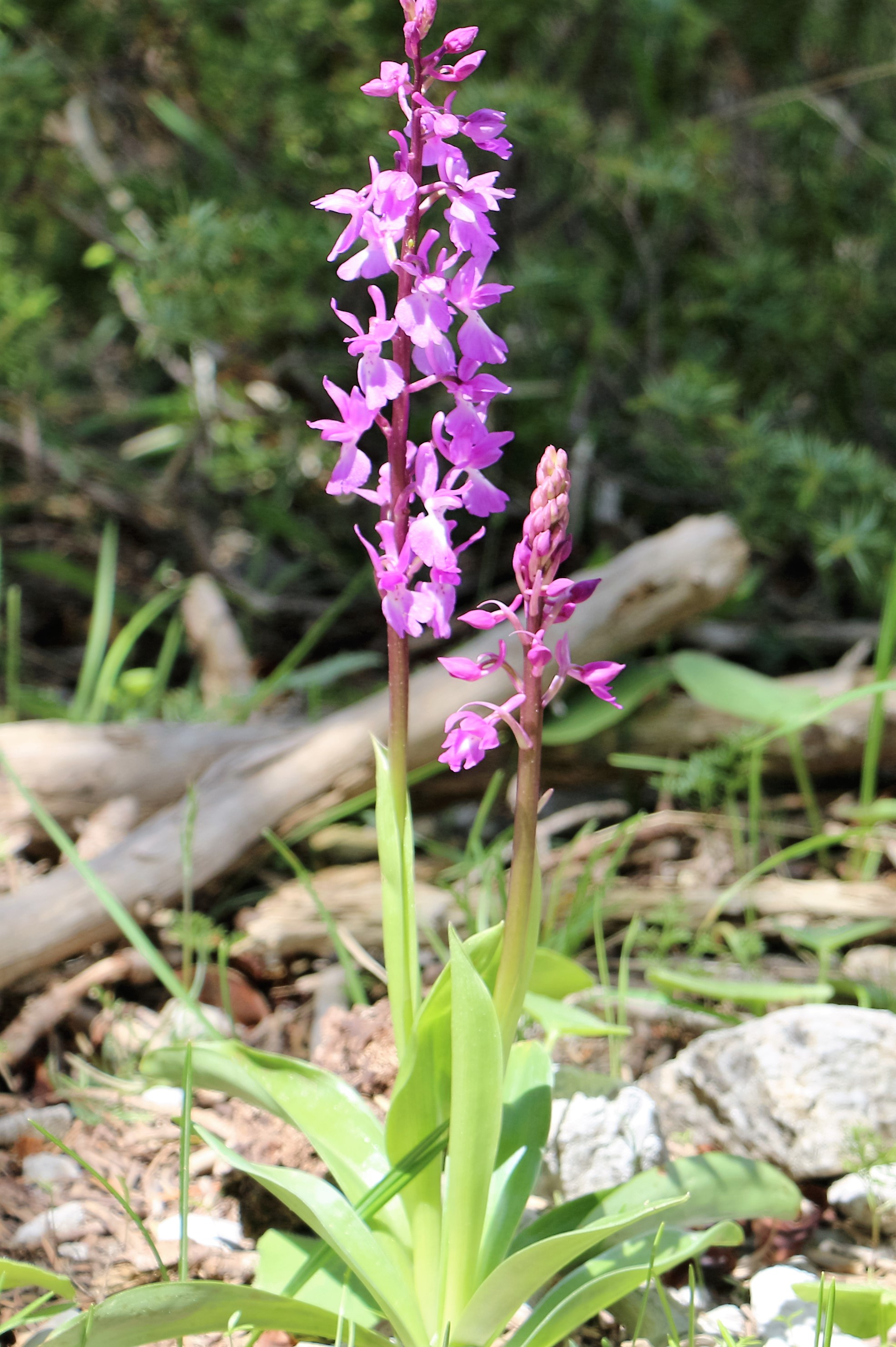 Orchis mascula ssp mascula