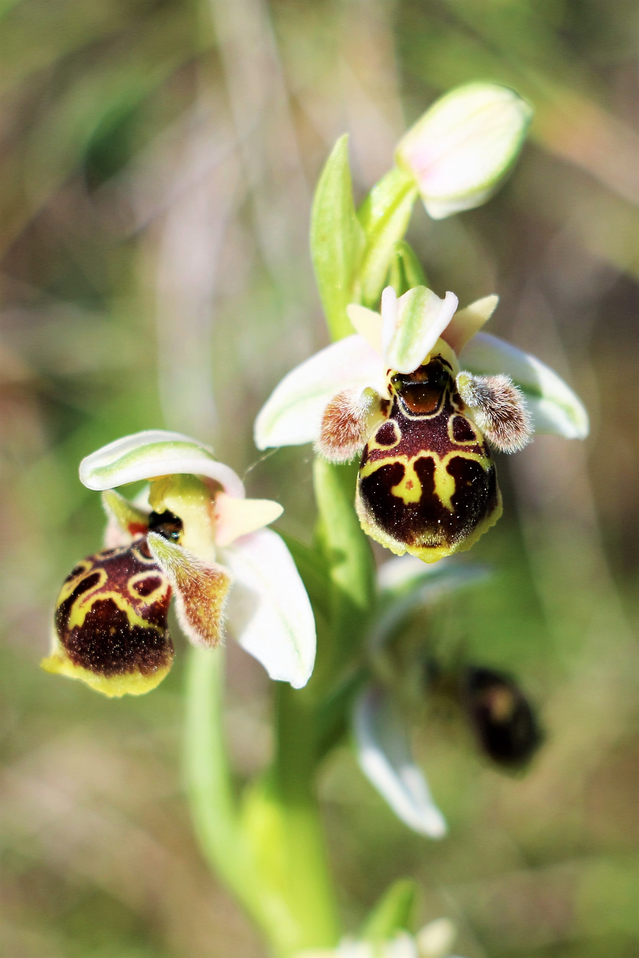 Ophrys dodekanensis