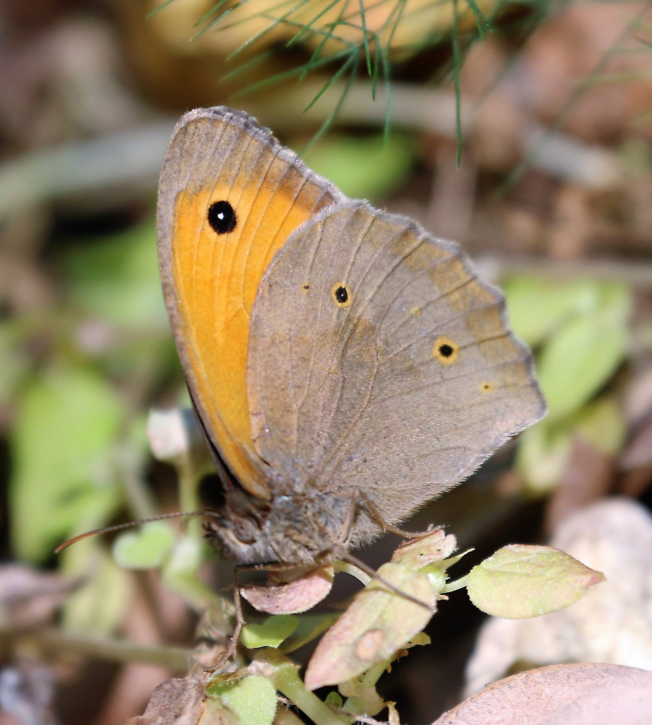 Maniola jurtina. Meadow Brown.