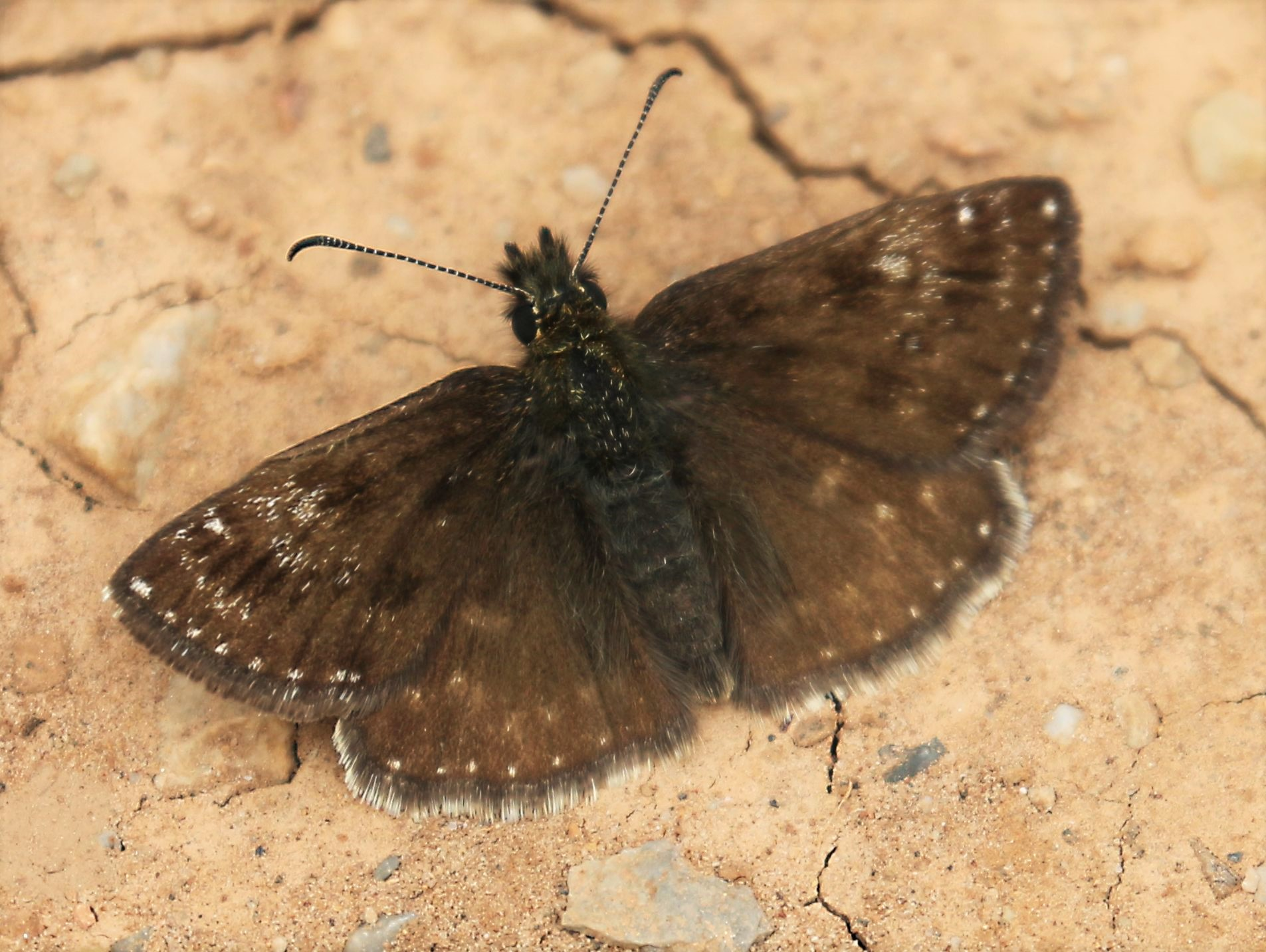 Spialia orbifer. Hungarian Skipper