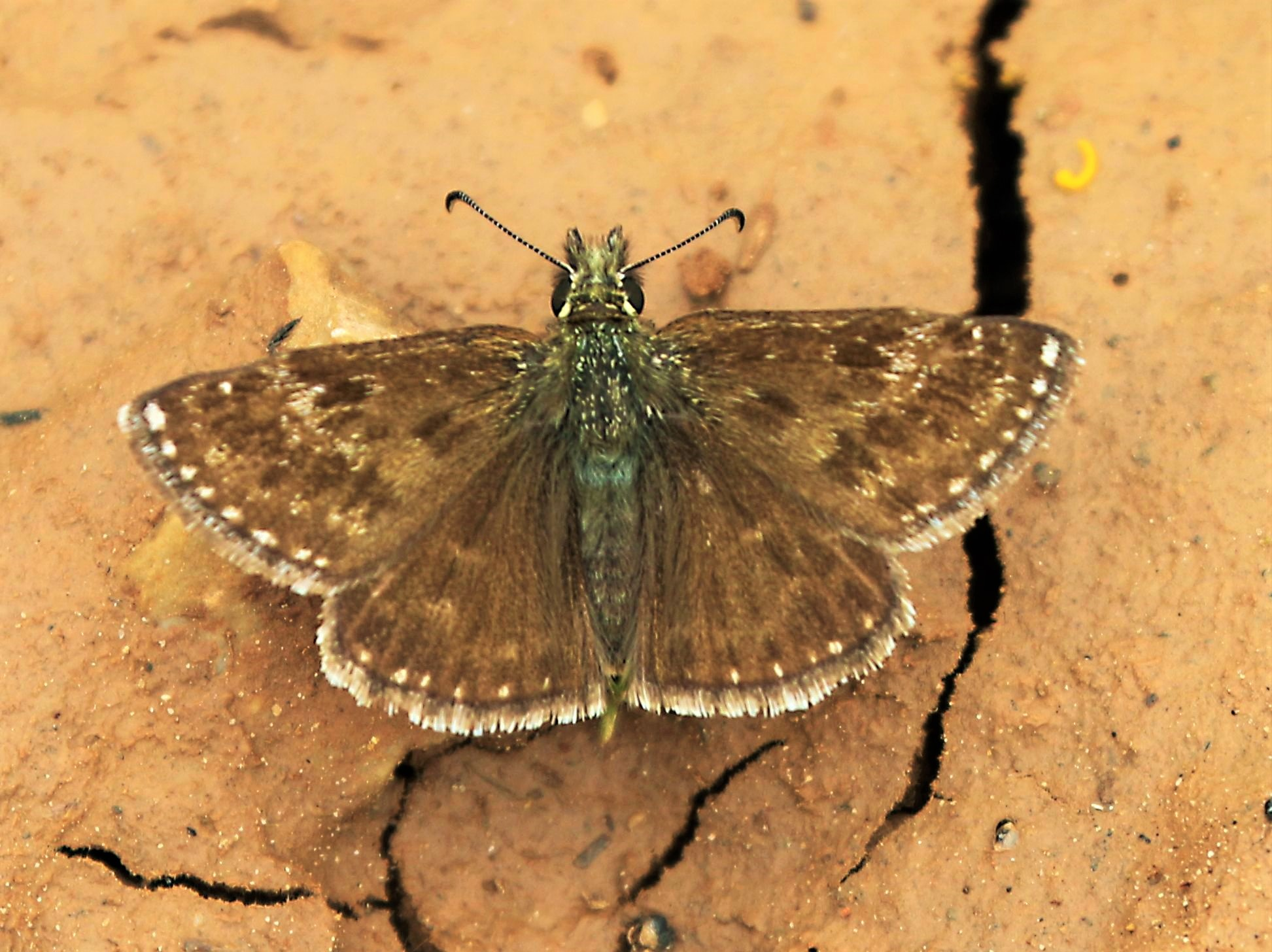 Erynnis tages. Dingy Skipper.