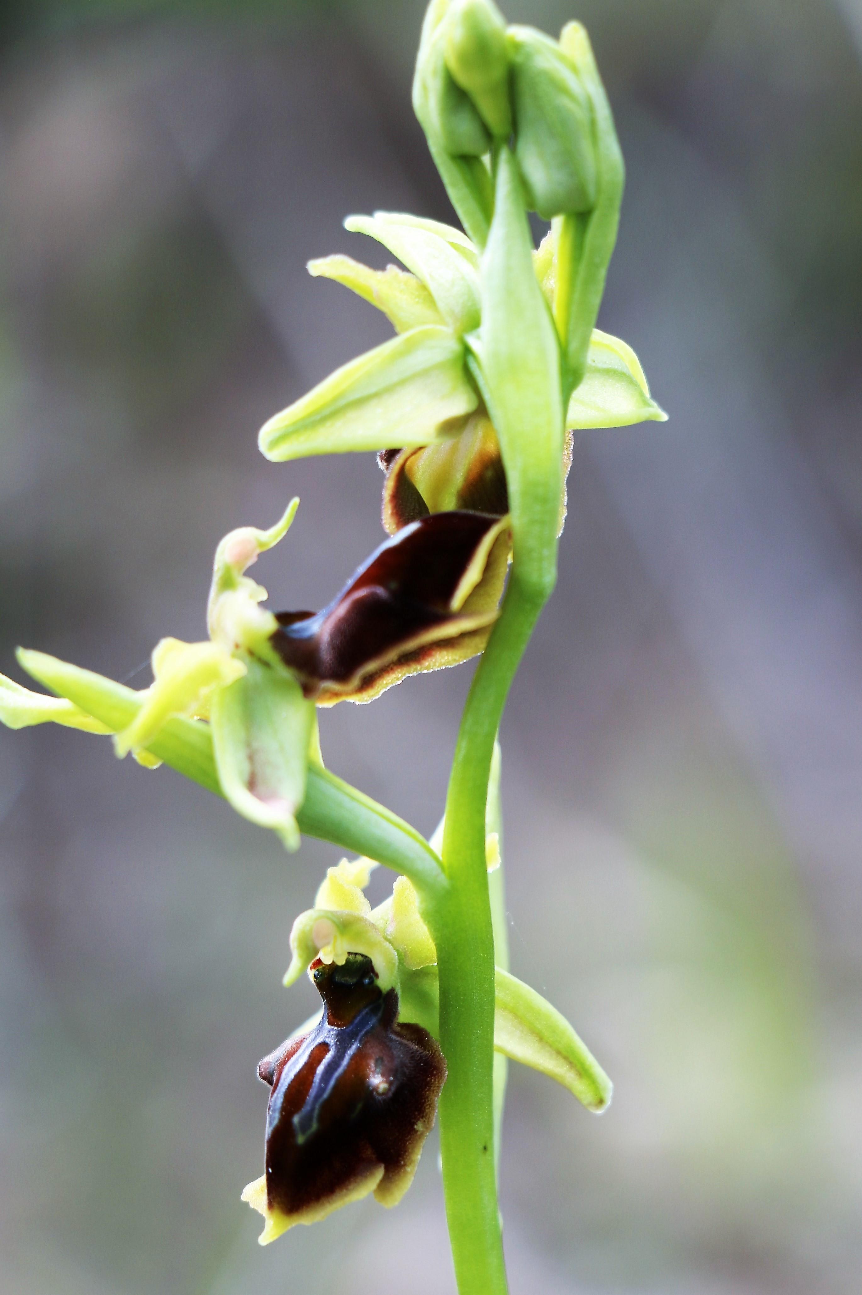 Ophrys alasiatica