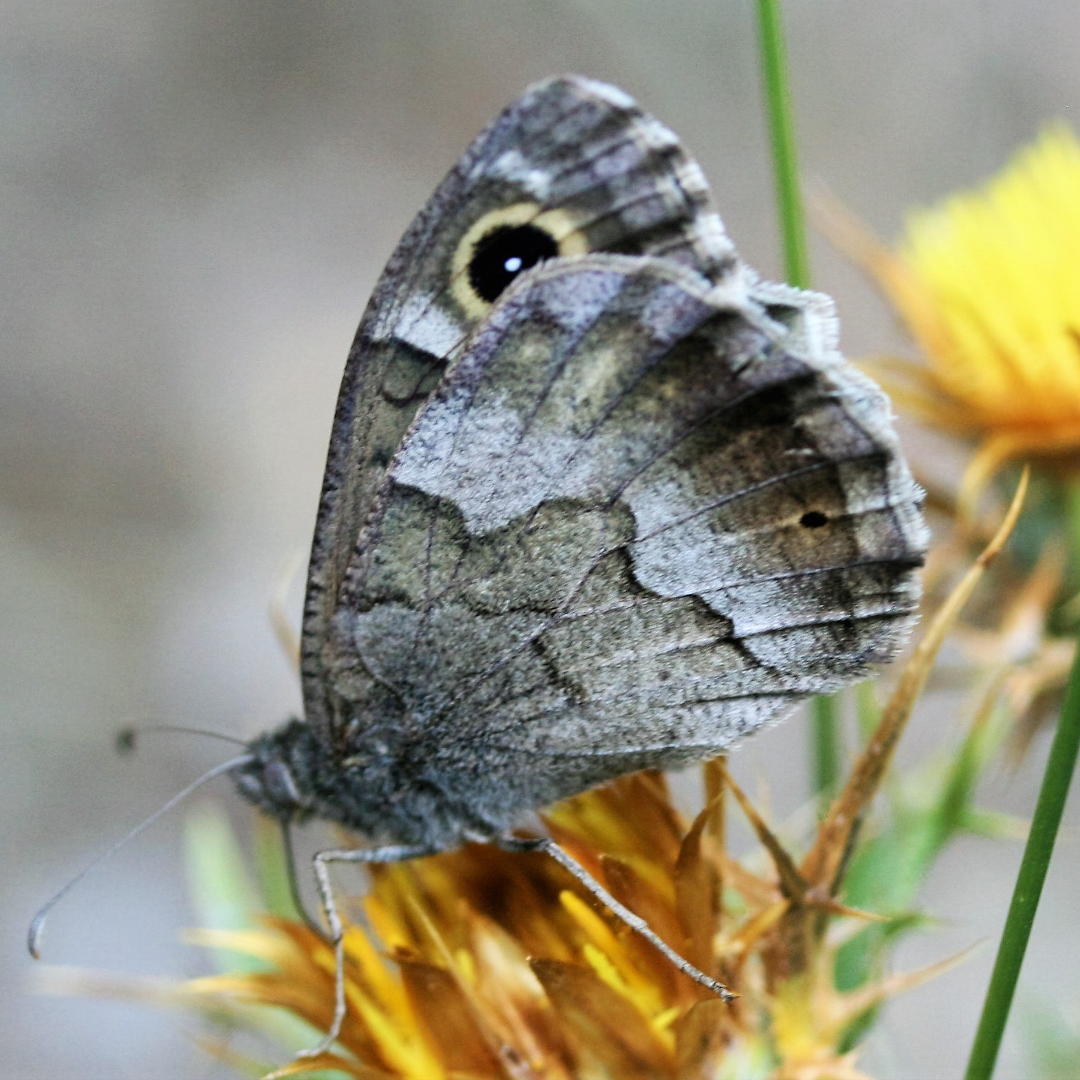 Brintesia circe. Great Banded Grayling.