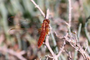 Crocothemeis erythraea. Broad Scarlet.