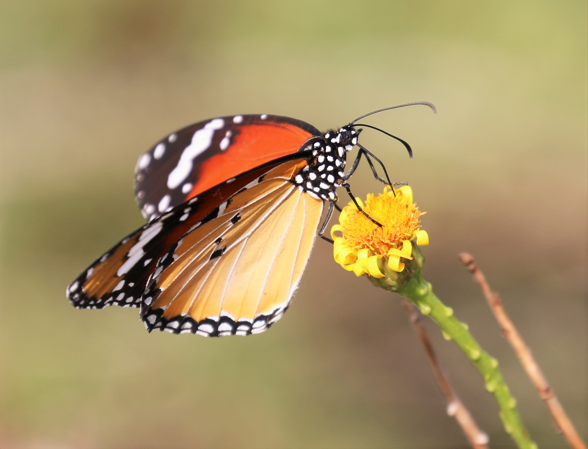 Danaus chrysippus. Plain Tiger