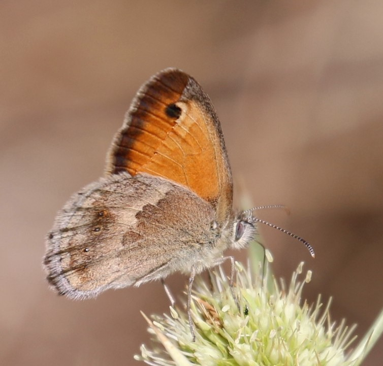Coenonympha pamphilus. Small Heath.