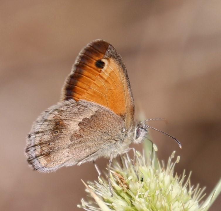 Coenonympha pamphilus. Small Heath.