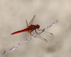 Crocothemis erythraea. Broad Scarlet.