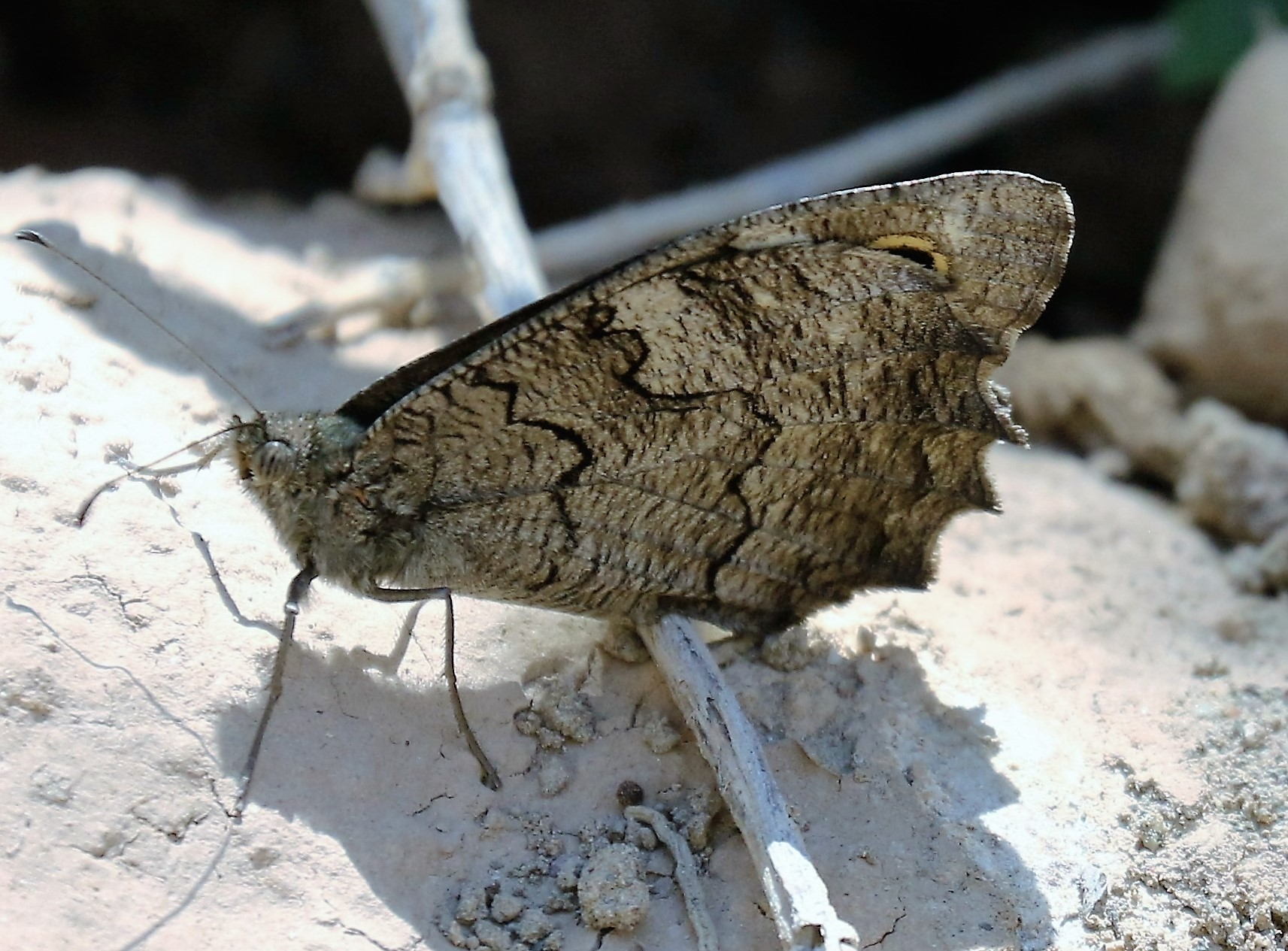 Hipparchia statilinus. Tree Grayling.