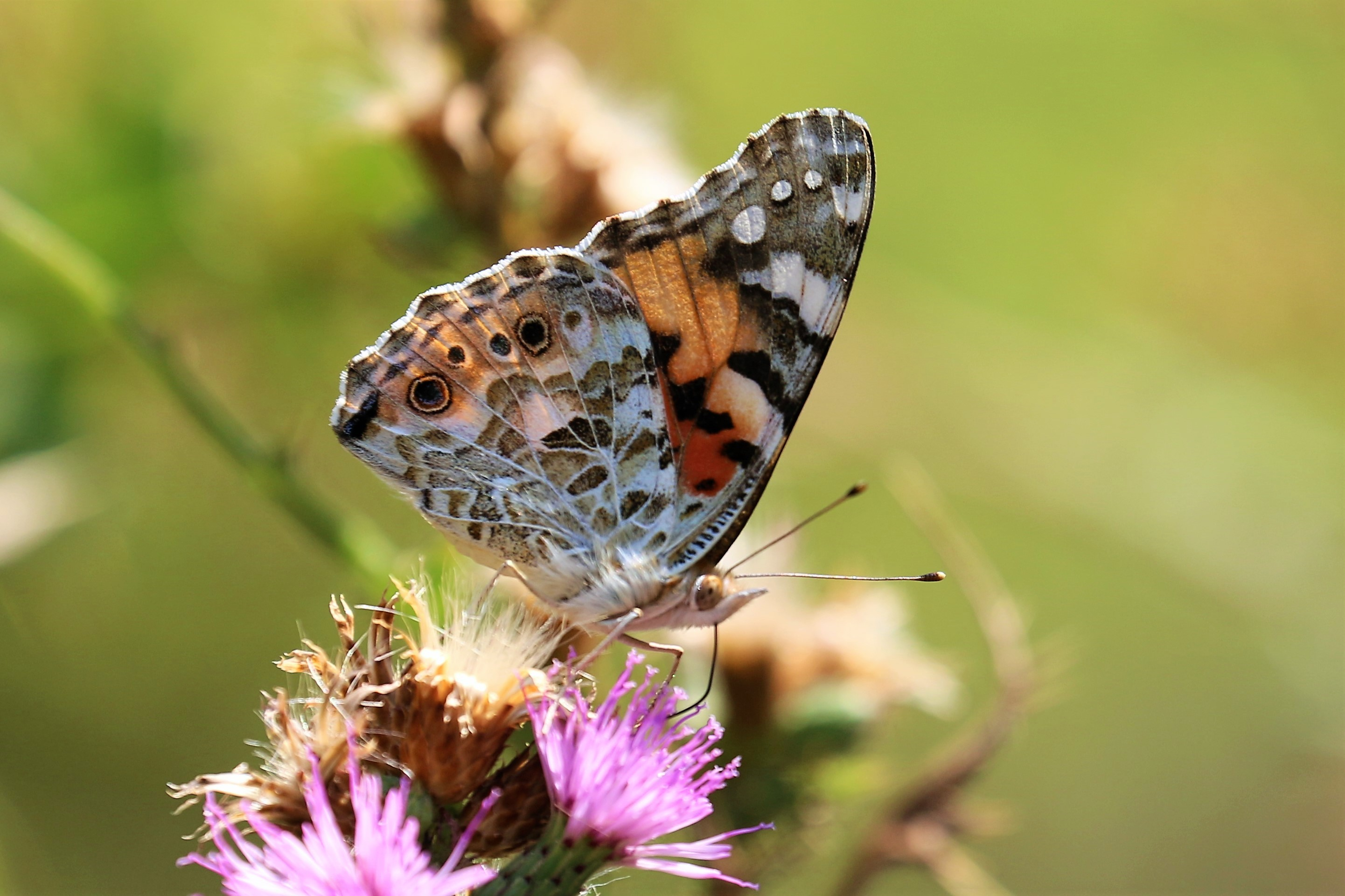 Vanessa cardui. Painted Lady.