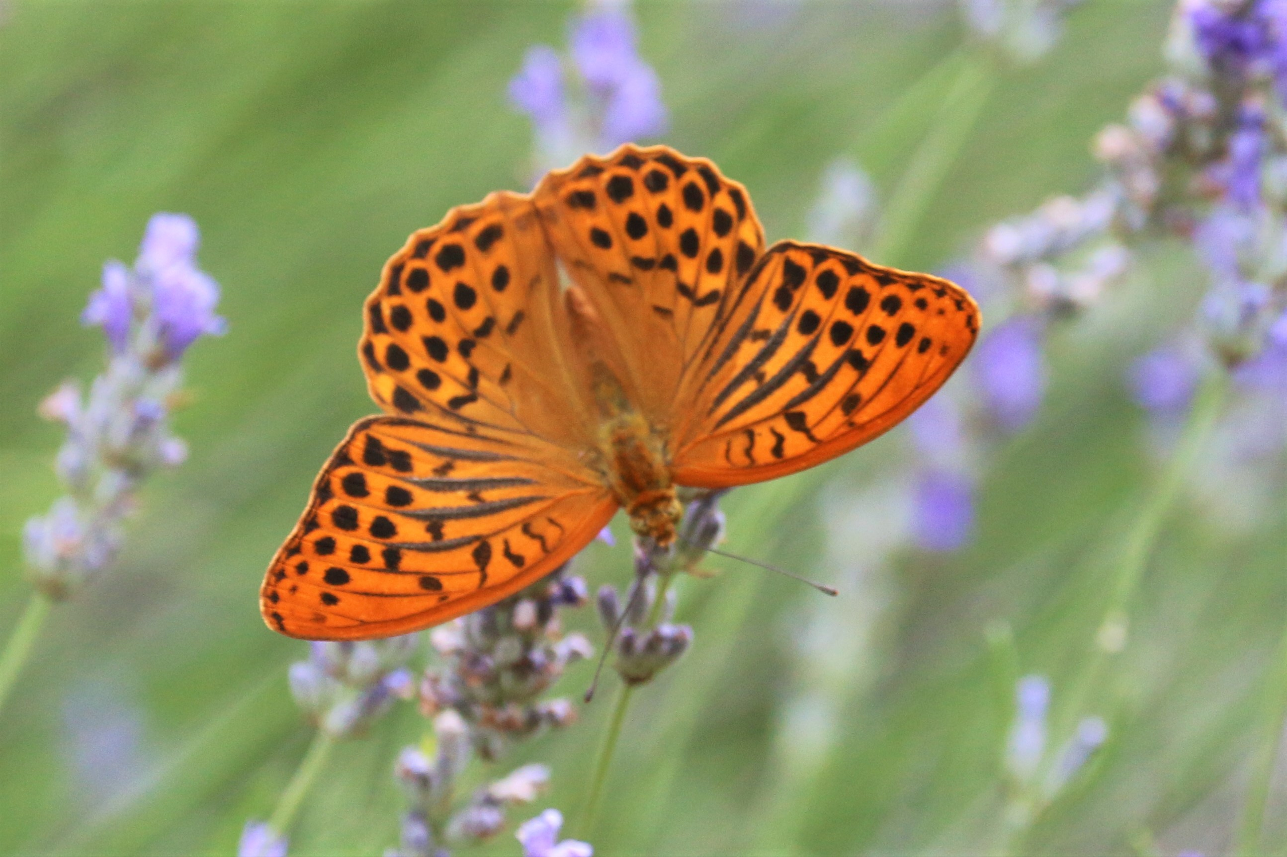 Argynnis paphia. Silver-washed Fritillary.