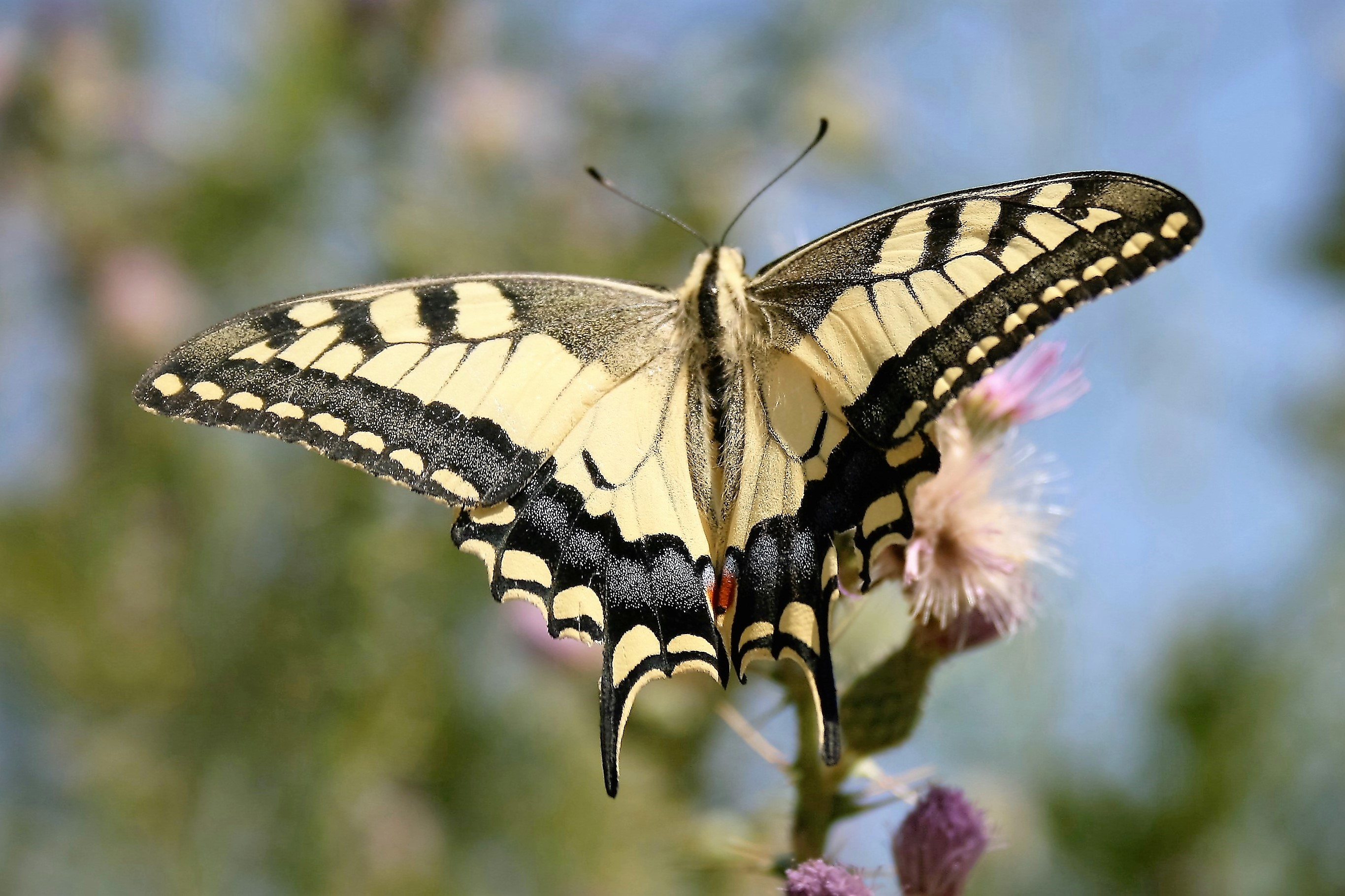 Papilio machaon. Swallowtail.