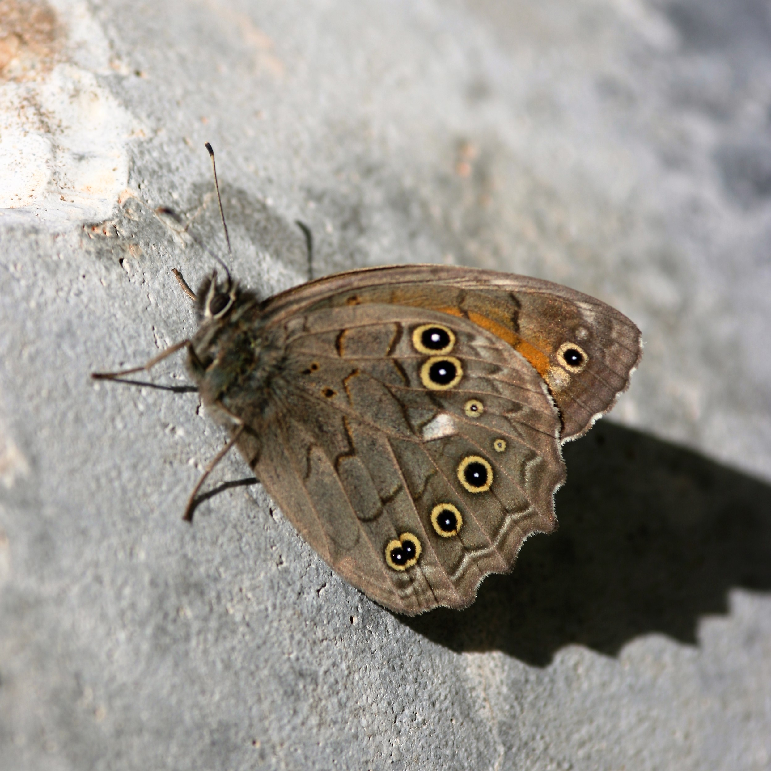 Kirinia roxelana. Lattice Brown.