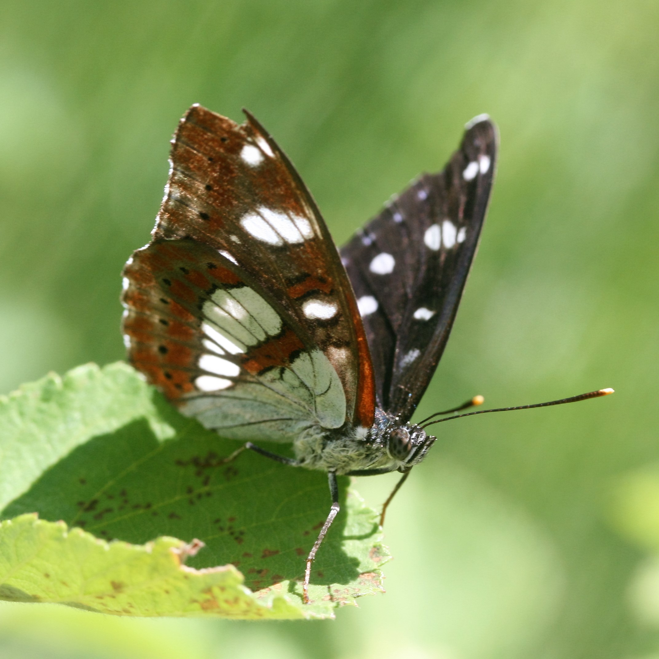 Limenitis reducta. Southern White Admiral.