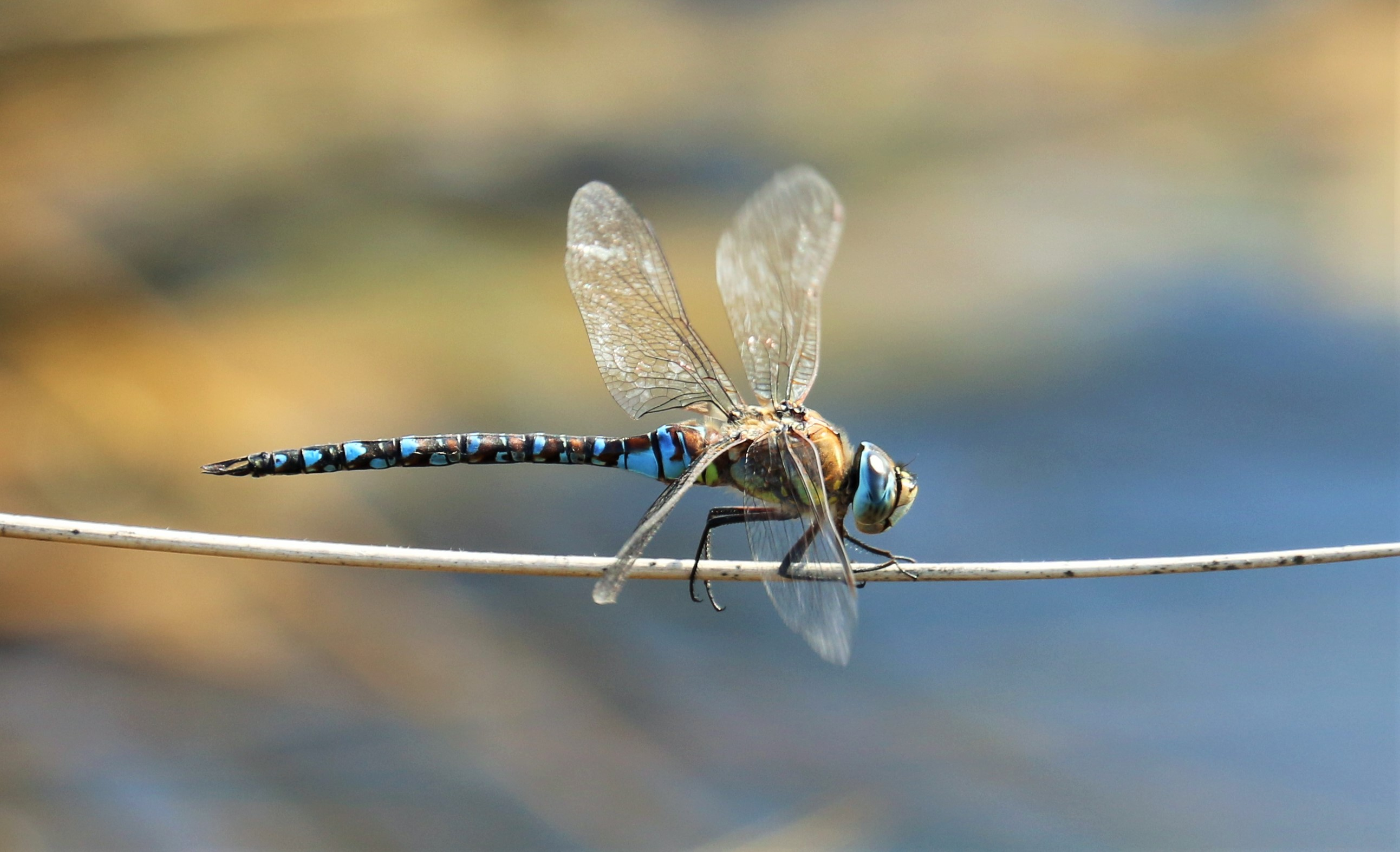 Aeshna mixta. Migrant Hawker.