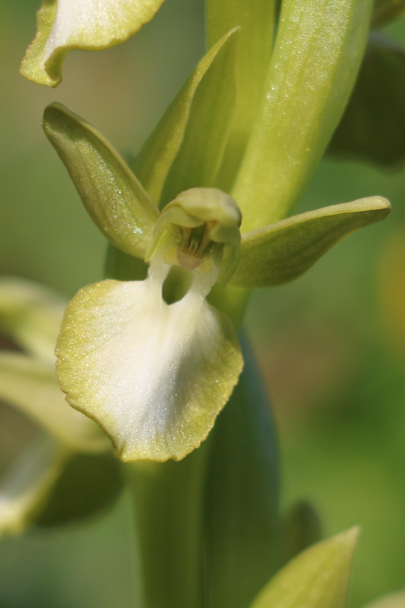 Orchis collina ssp. leucoglossa