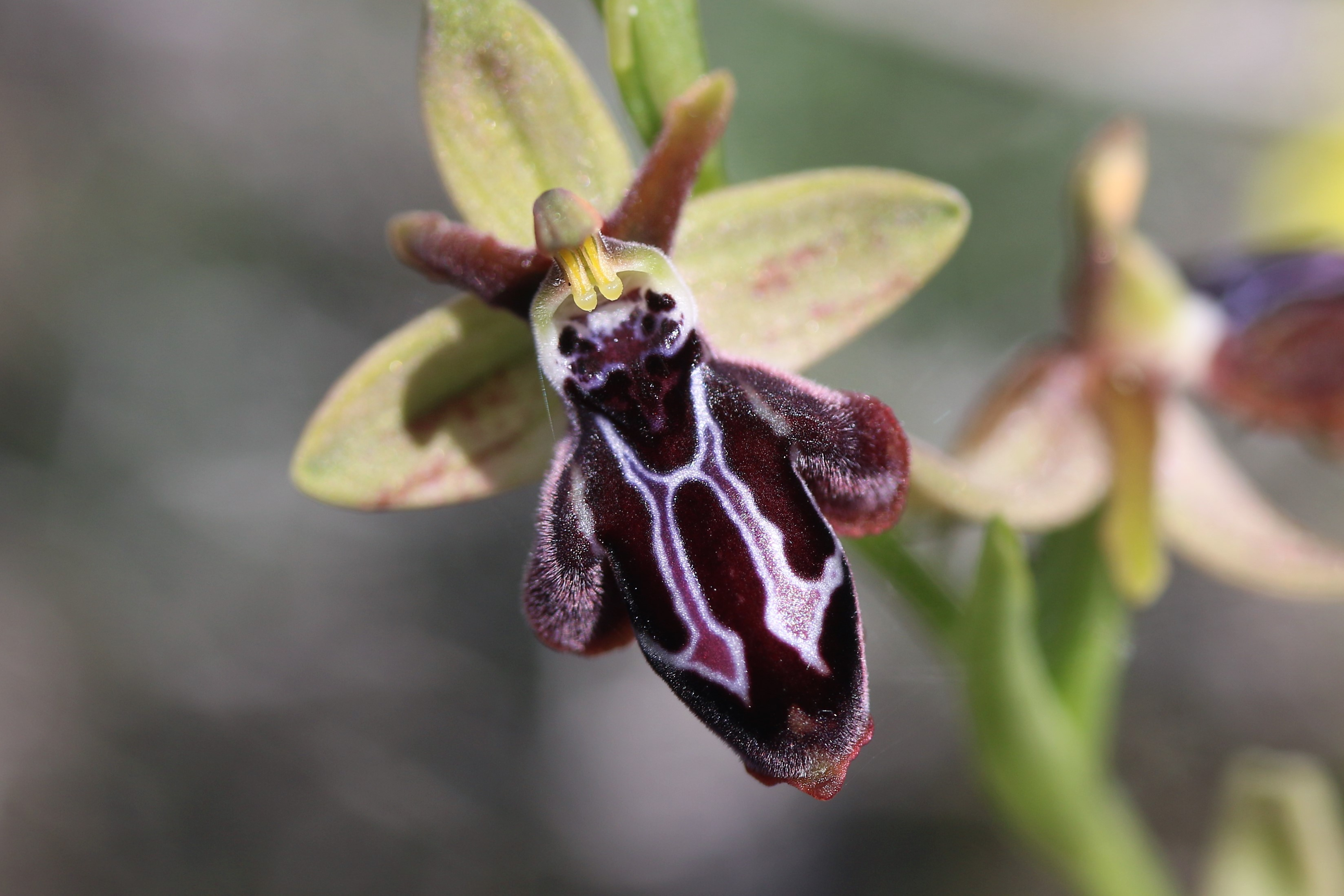 Ophrys cretica ssp cretica