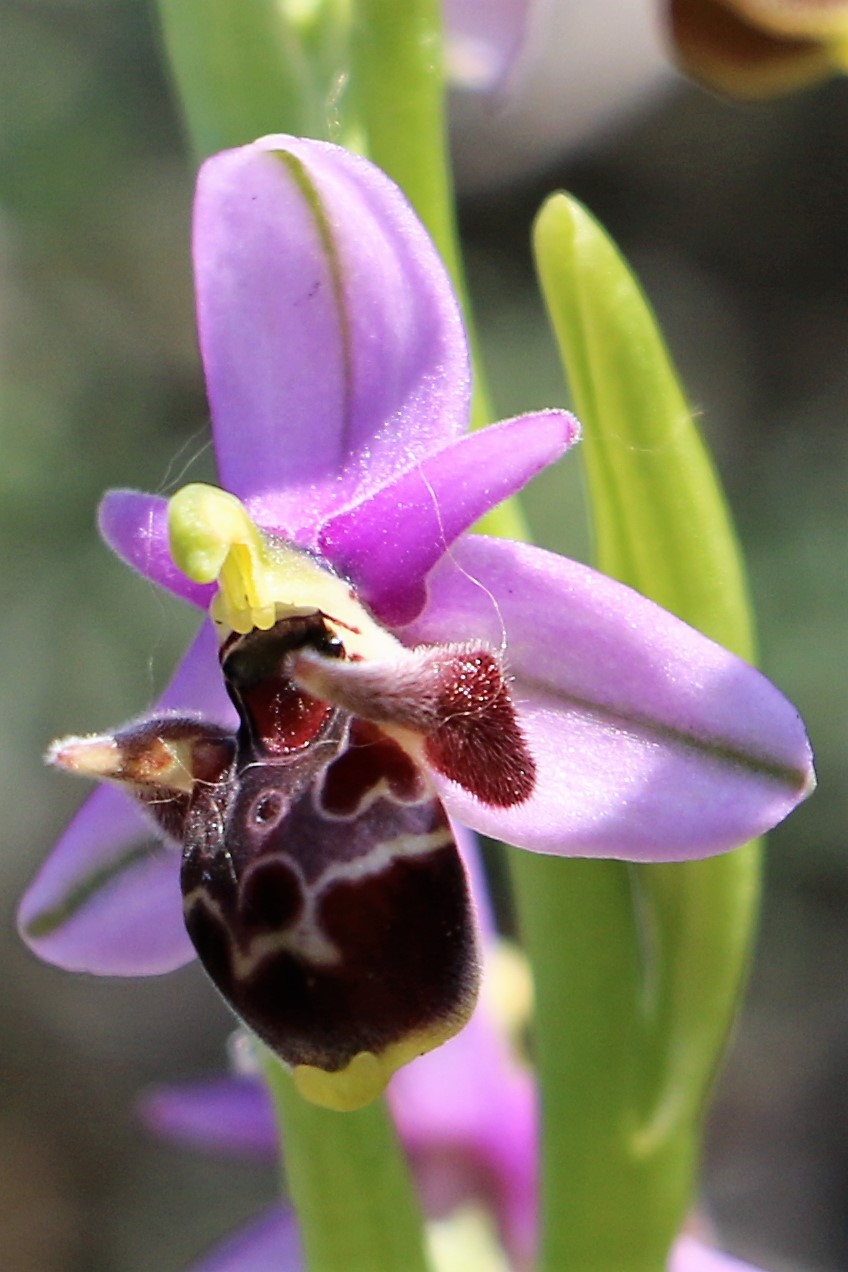 Ophrys oestrifera ssp. dodekanensis