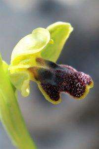 Ophrys fusca ssp. cinereophila