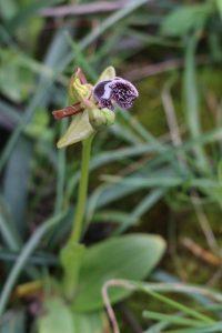 Ophrys omegaifera ssp. fleischmanniiii