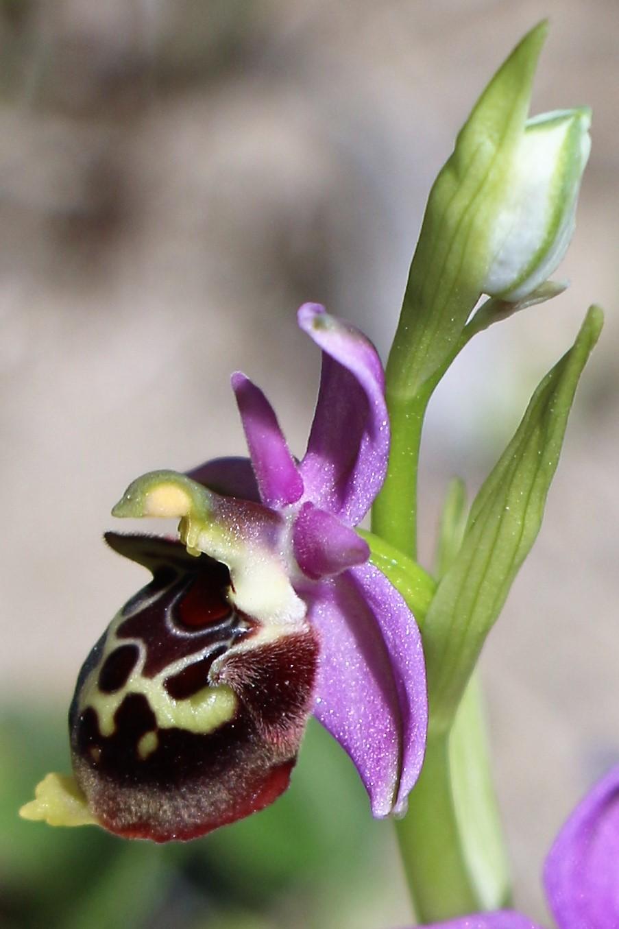 Ophrys heldreichii ssp calysus