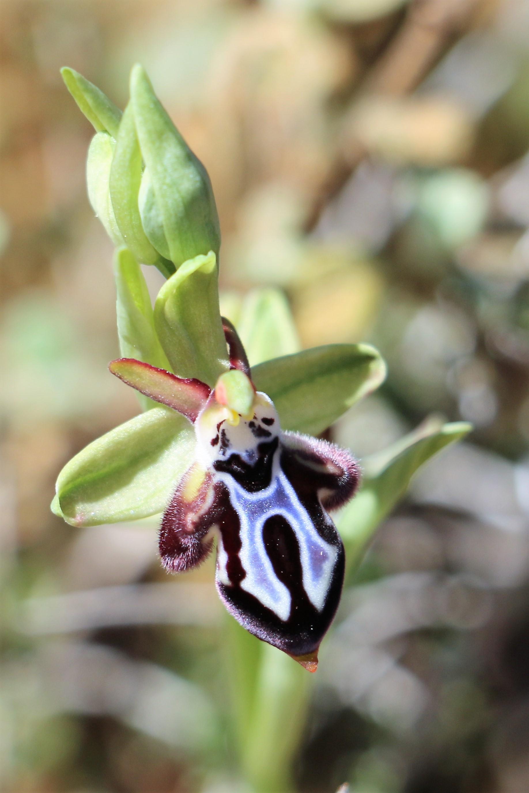 Ophrys cretica ssp. ariadne