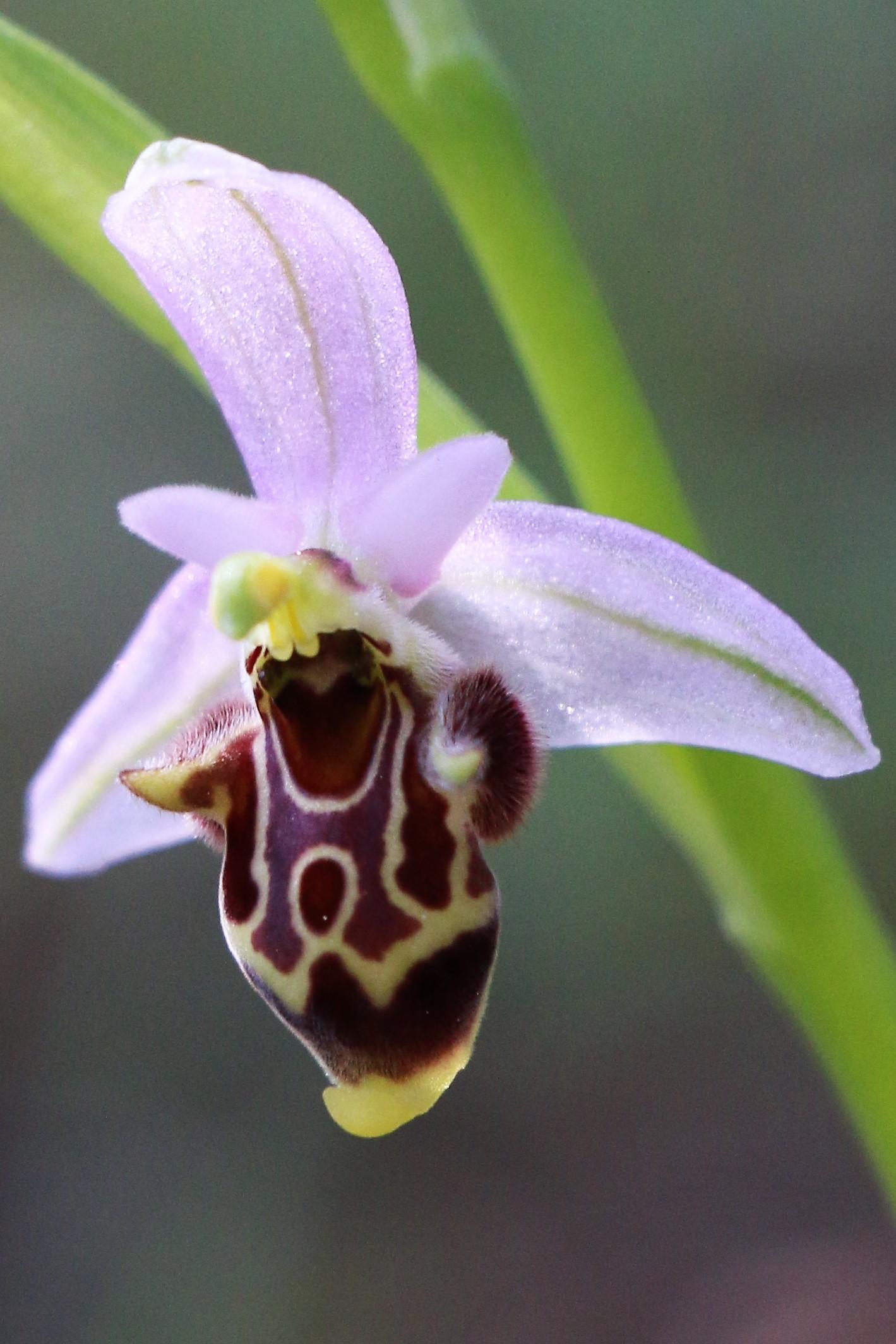 Ophrys heldreichii ssp. polyxo