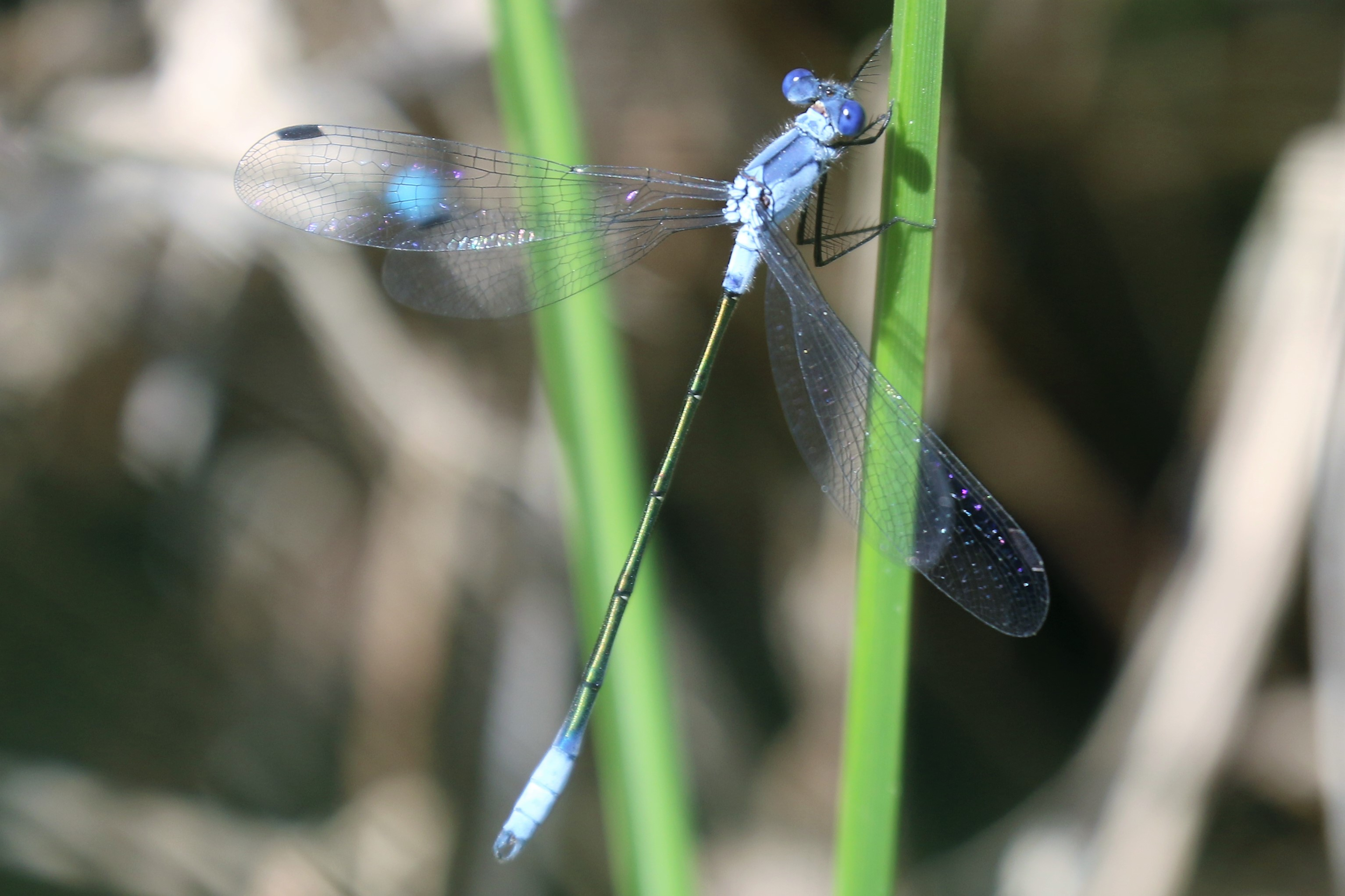 Lestes macrostigma. Dark Spreadwing.