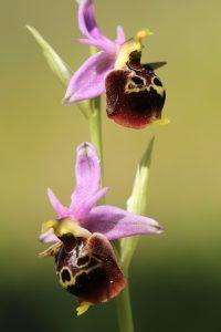 Ophrys oestrifera ssp. oestrifera