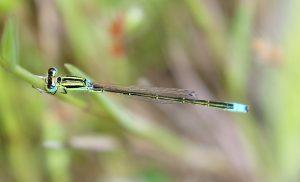 Ischnura pumilio. Small Bluetail.